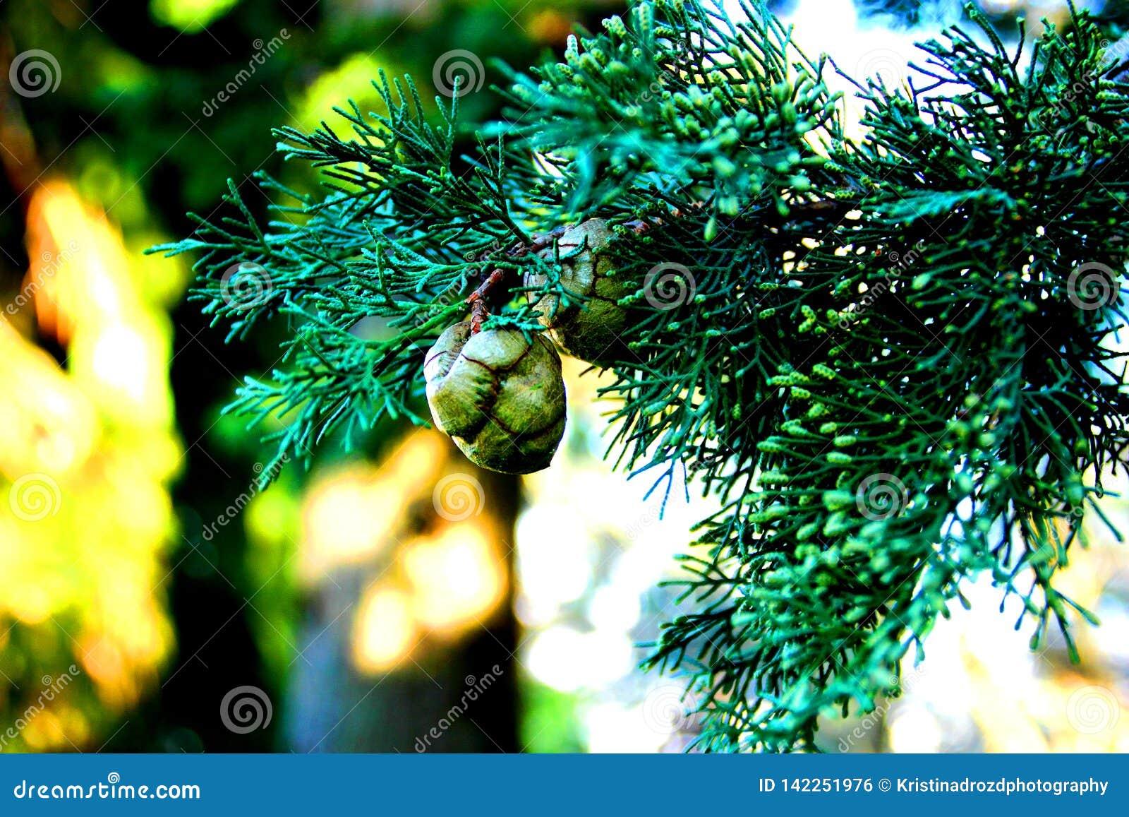 Ветвь Cypress с зелеными конусами