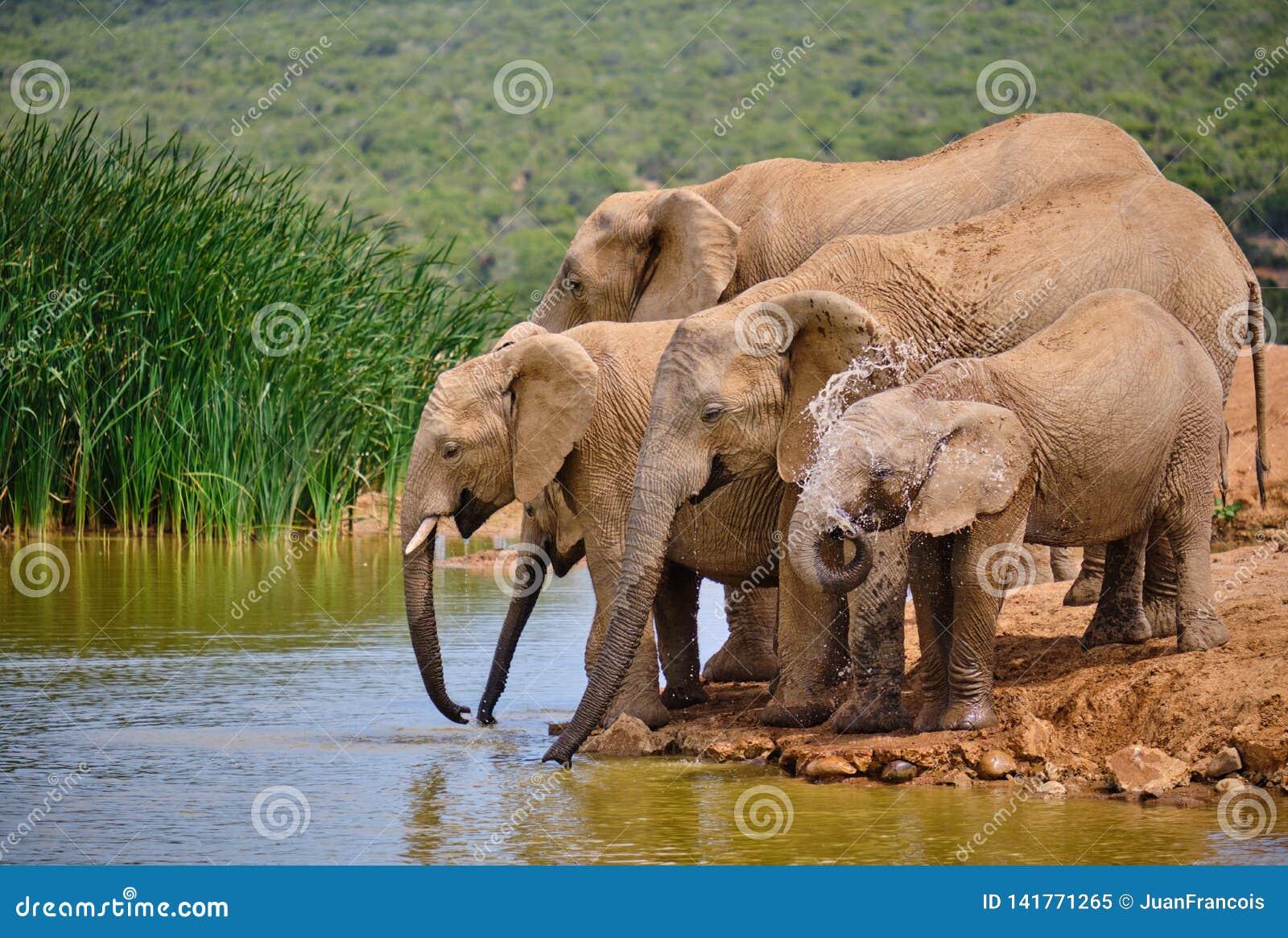 Выпивать африканского слона семьи из пяти человек