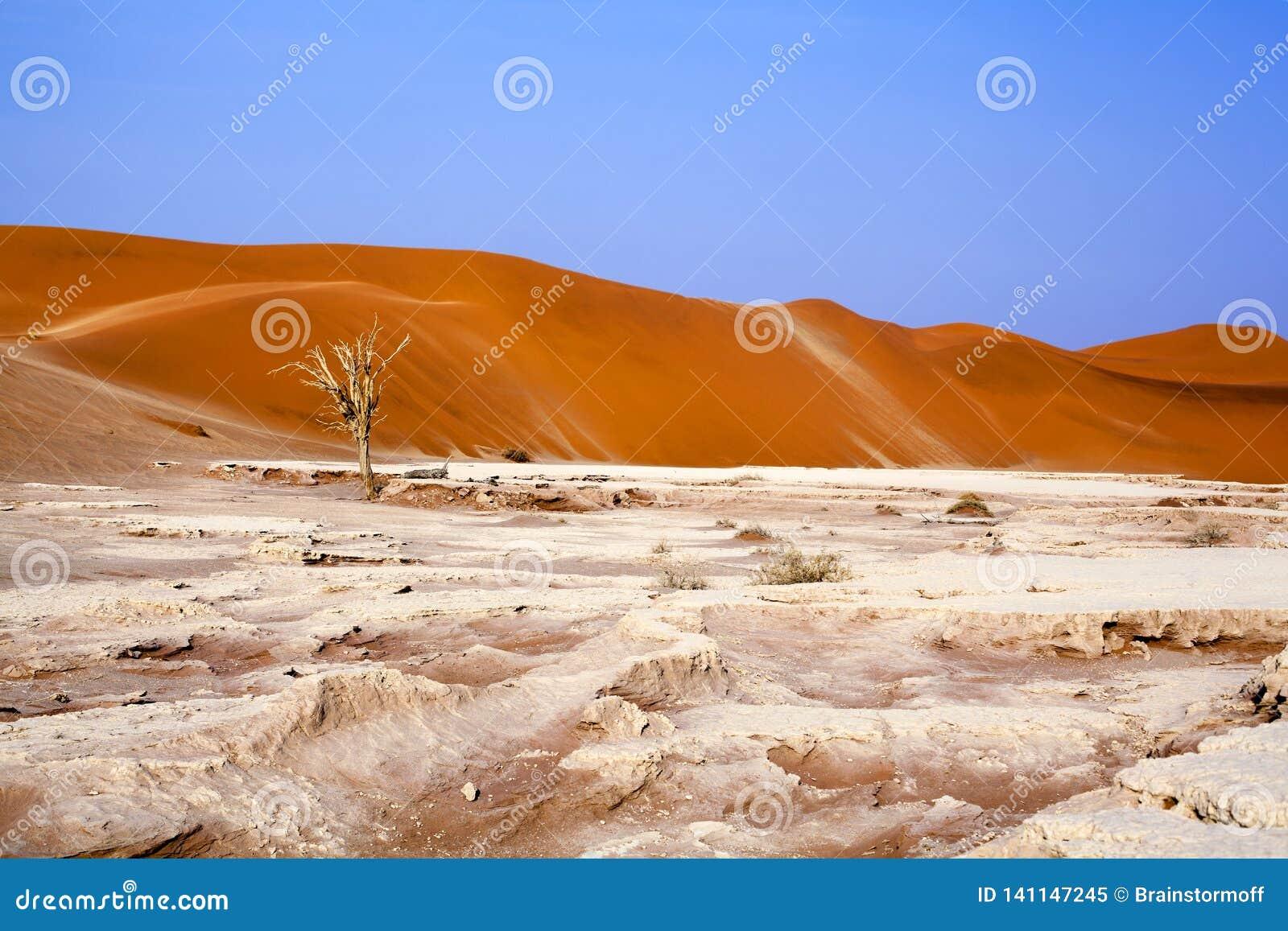 Высушенное дерево акации верблюда на оранжевых песчанных дюнах и яркой предпосылке голубого неба, Намибии, Южная Африка