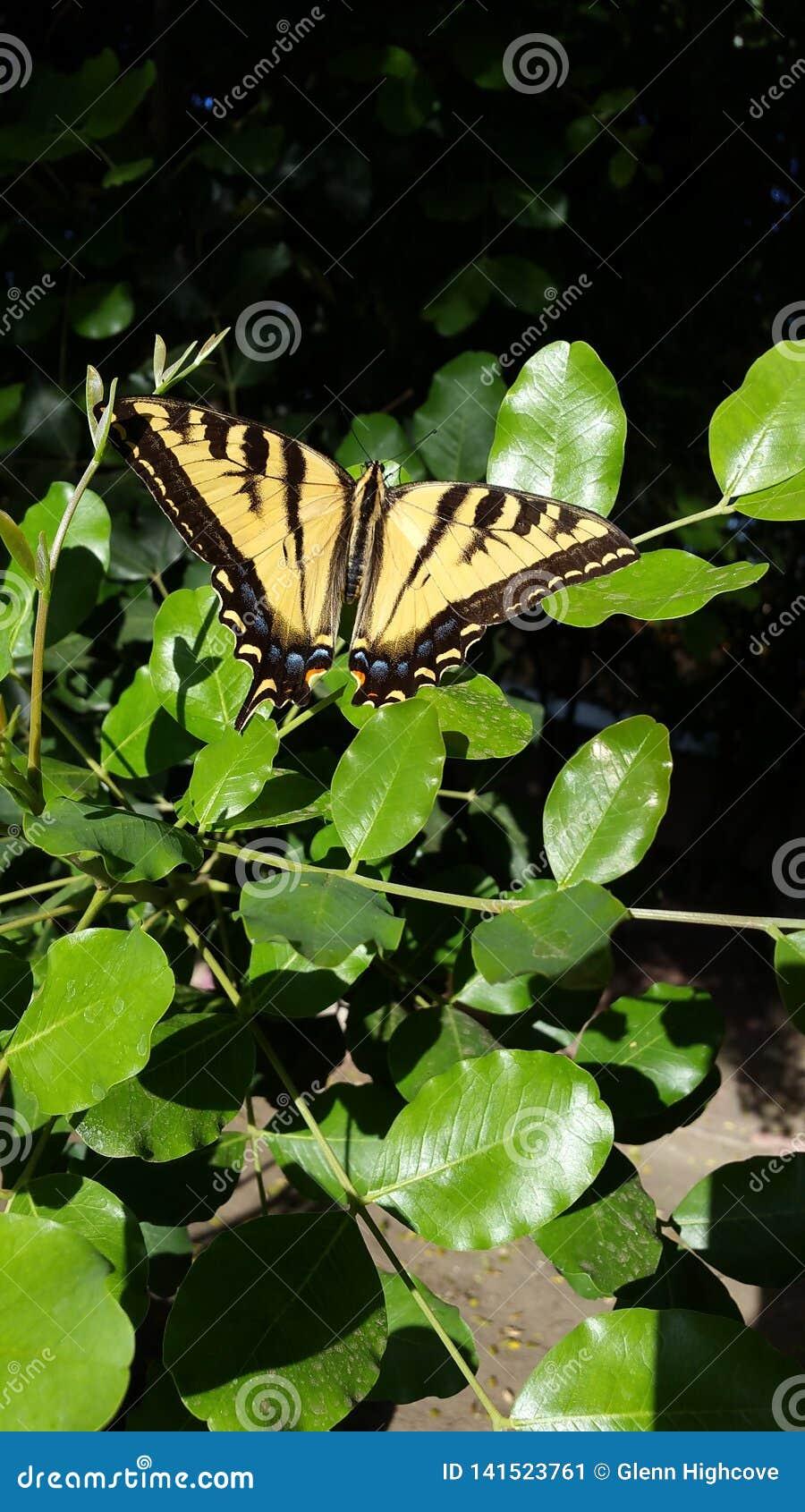 Гигантская бабочка Swallowtail тигра на зеленом цвете покидает высокое разрешение