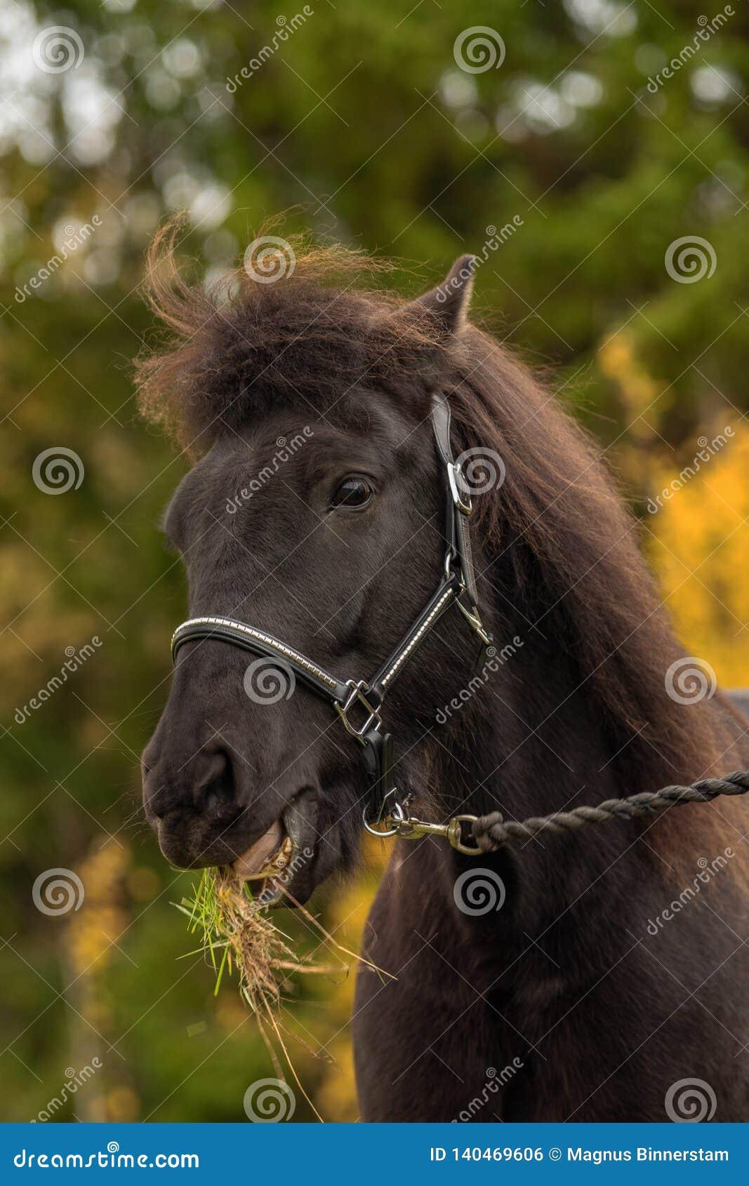 Главный портрет черной исландской лошади с травой в своем рте