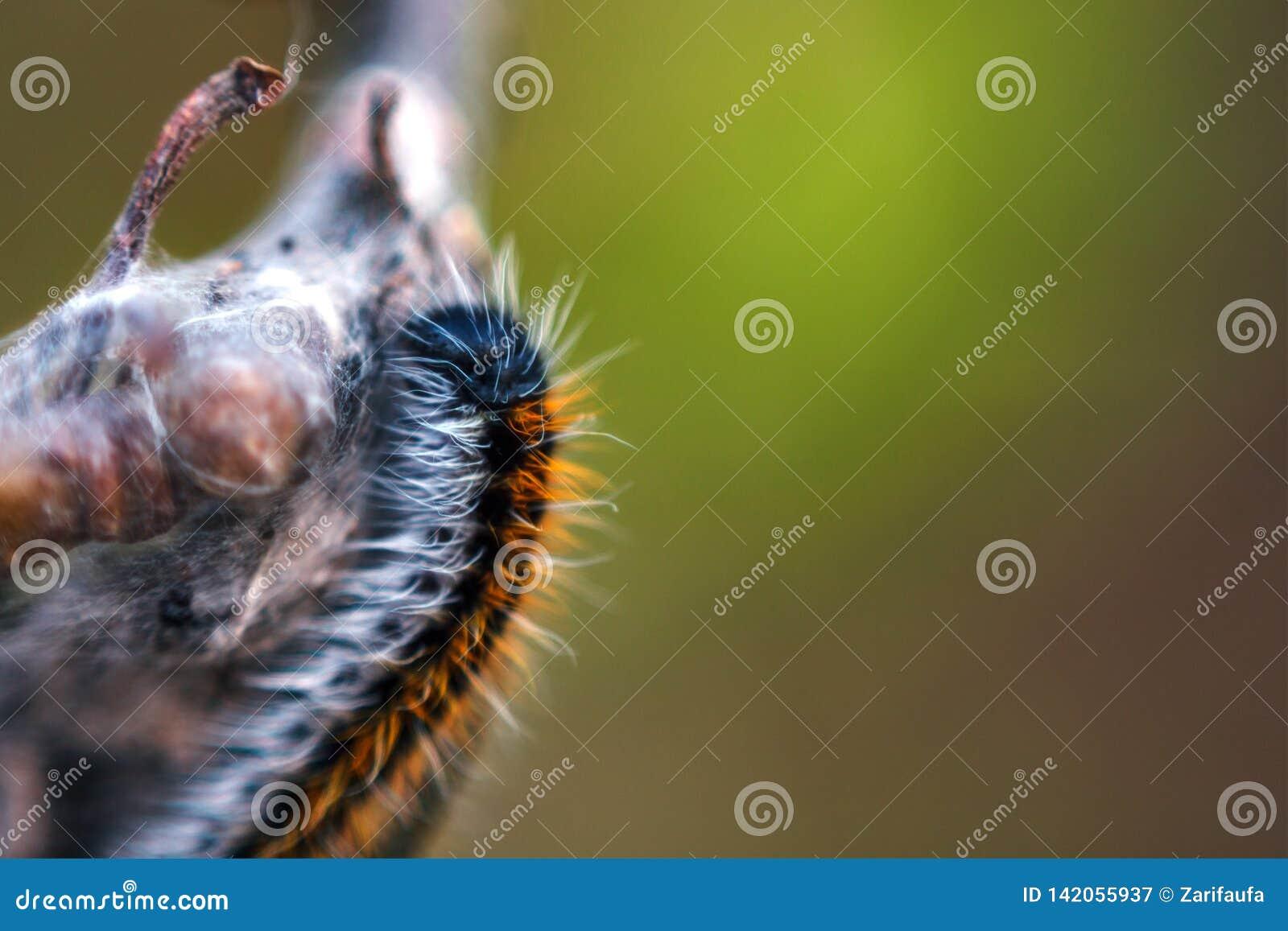Гусеница макроса пушистая на ветви дерева, мягком выборочном фокусе, космосе экземпляра