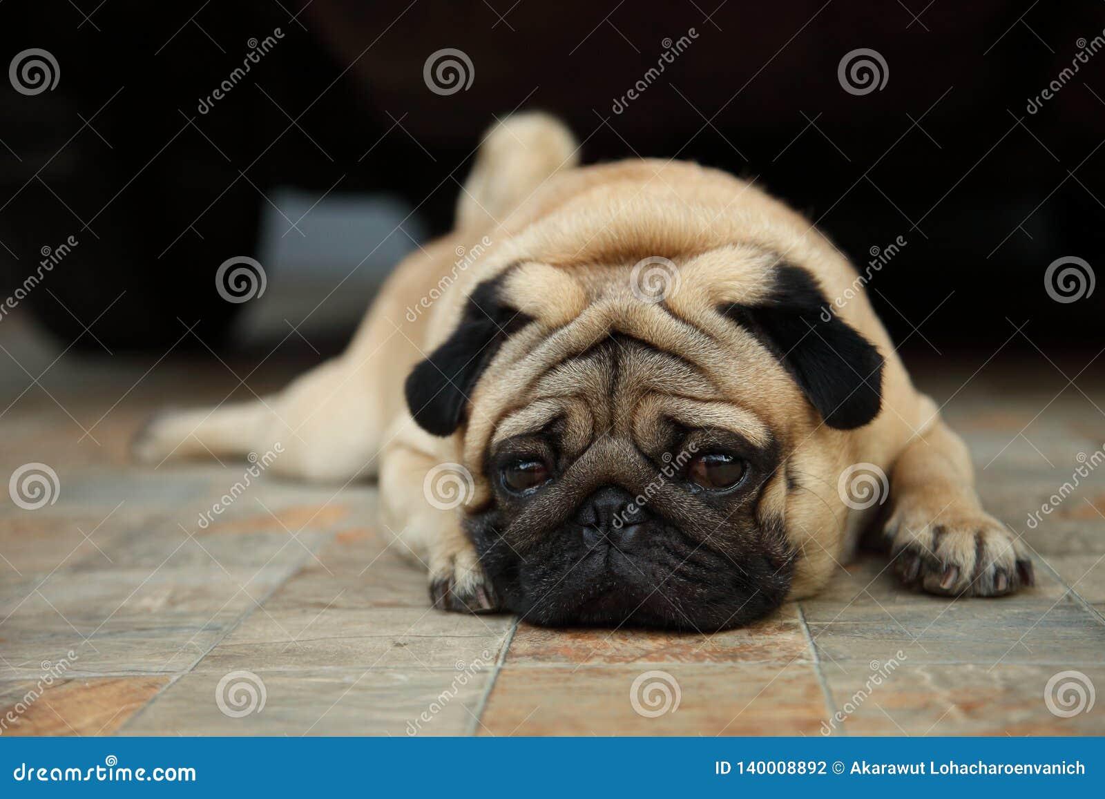 Грустная смотря собака мопса терпеливо ждет владельца для того чтобы прийти домой