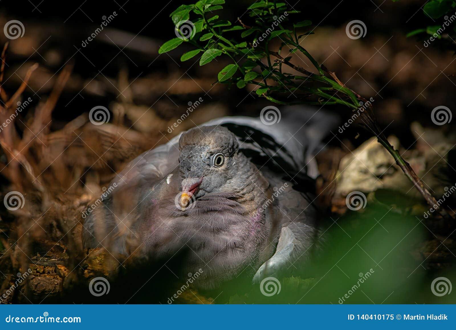 Голубь запаса, птица, ослабляет, портрет