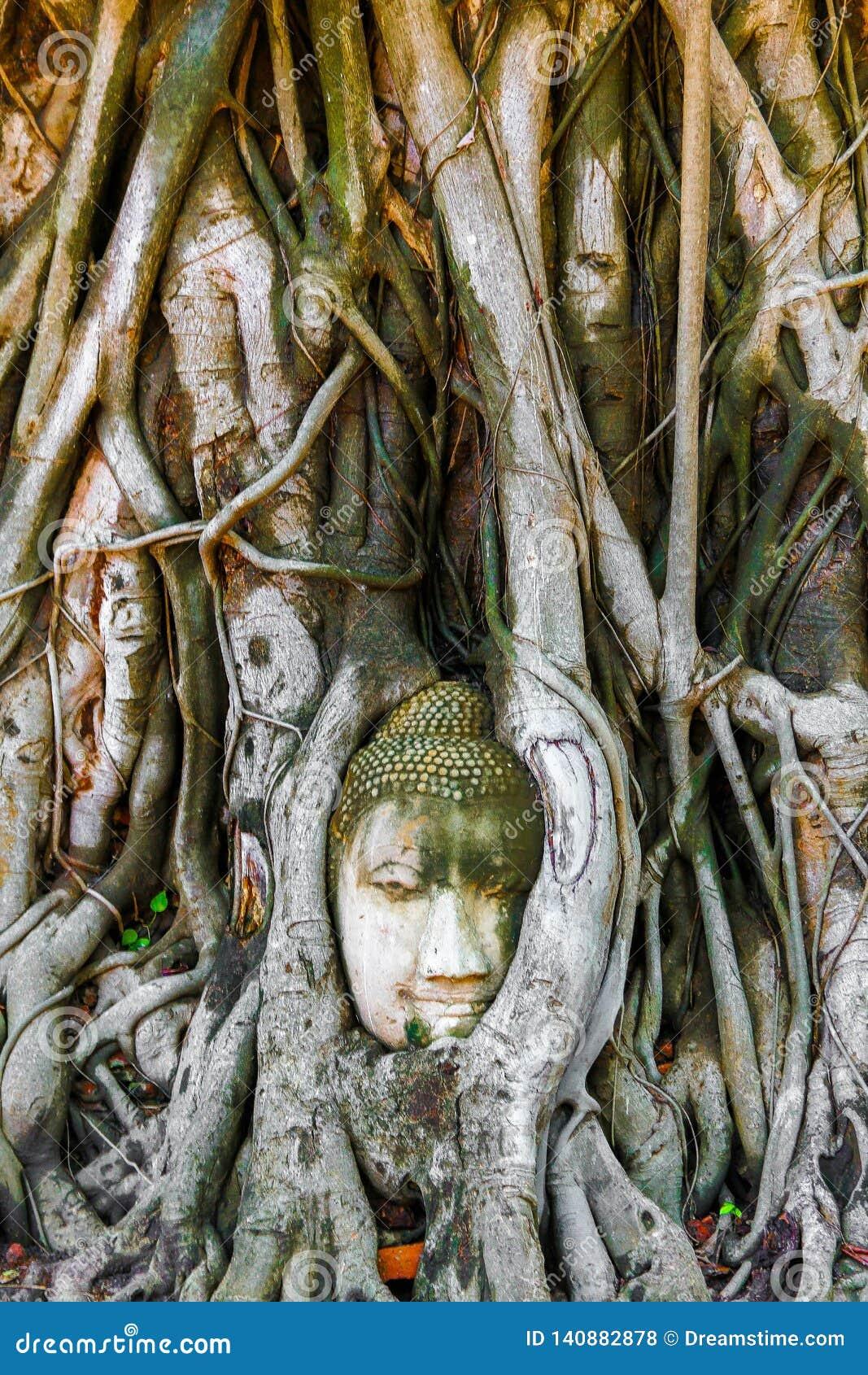 Голова Будды врезанная в баньяне в Ayutthaya, Таиланде