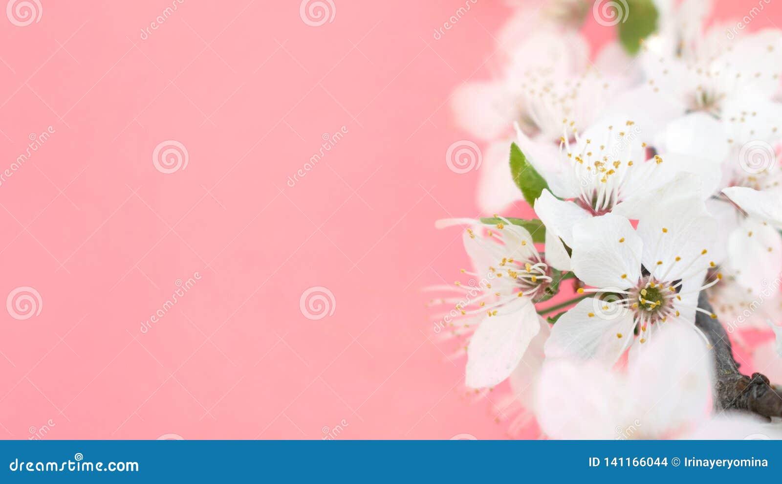 желтый цвет весны лужка одуванчиков предпосылки полный Деревья вишневого цвета, белые цветки Сакуры и зеленые листья на предпосыл