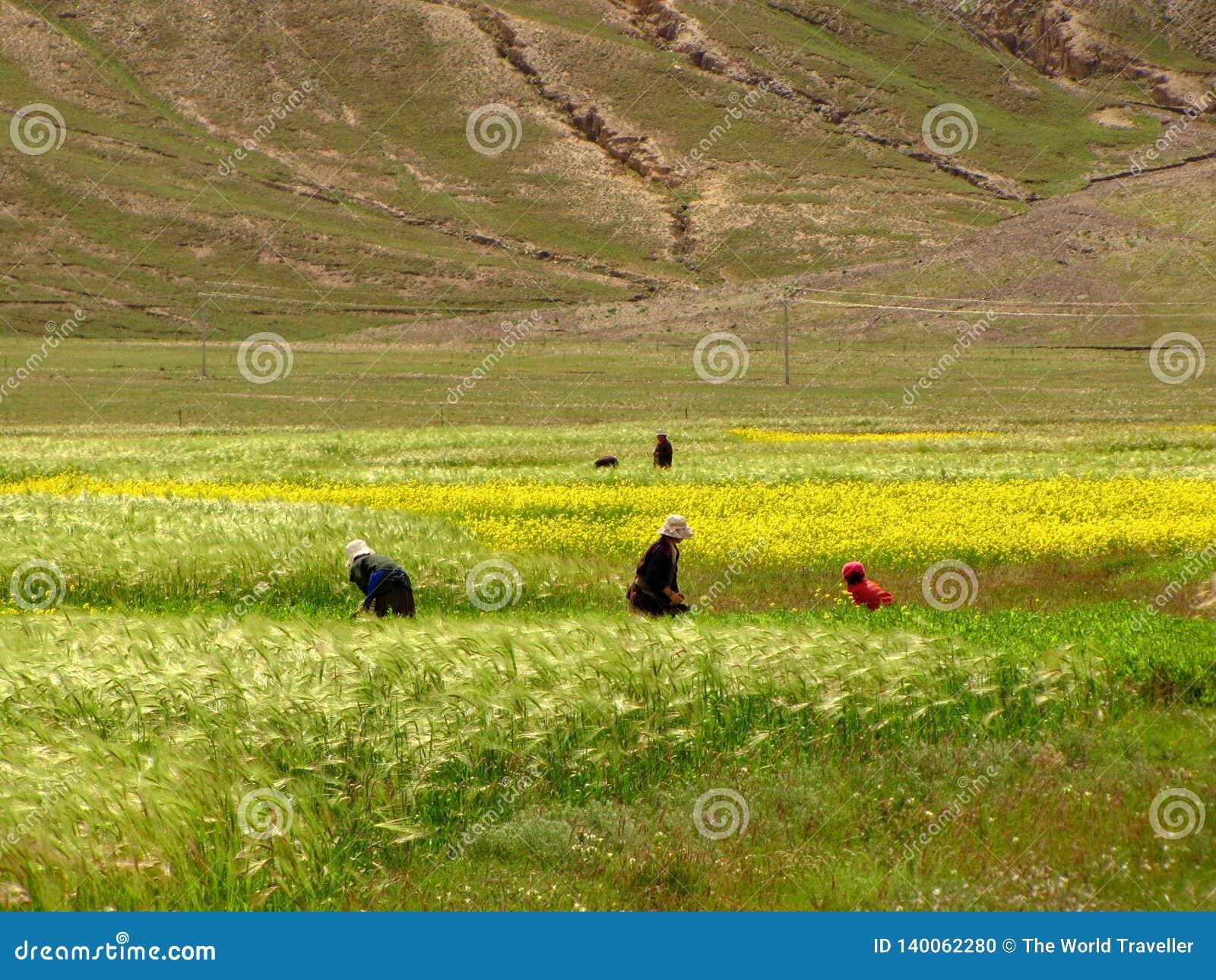 Женщины работая дальше в поле, Тибете, Китае