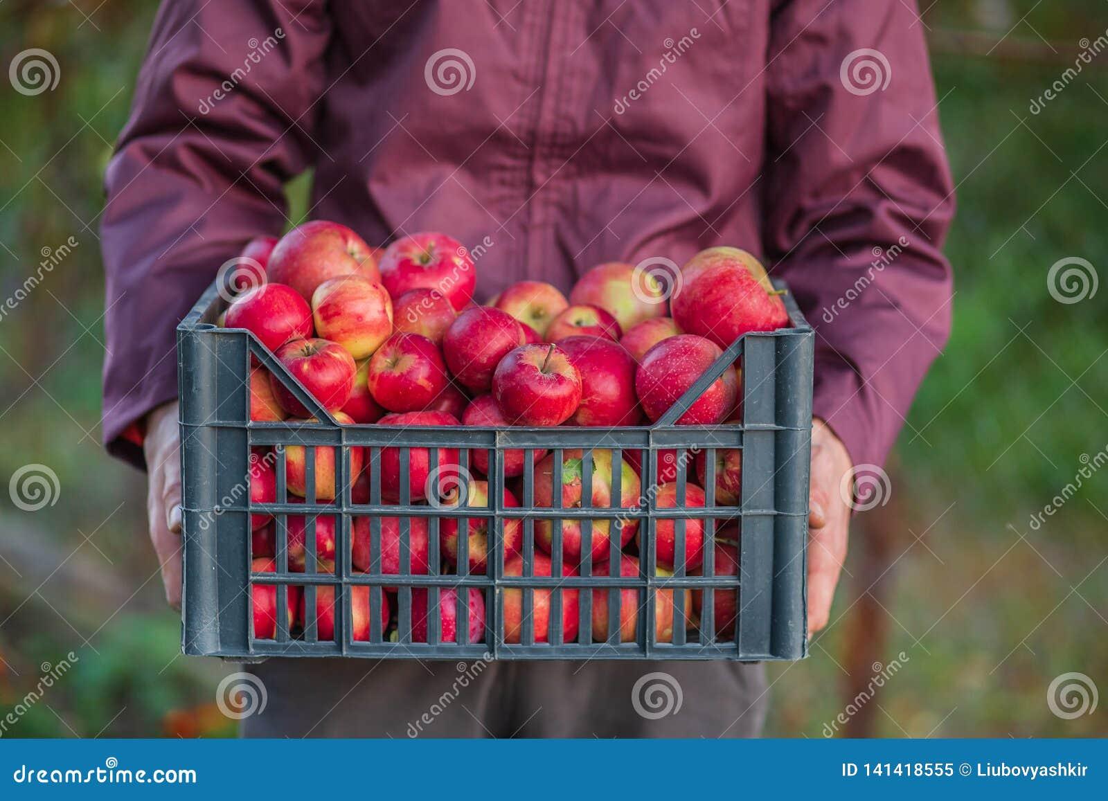 Жмущ органические красные яблоки, переполняя клеть яблок