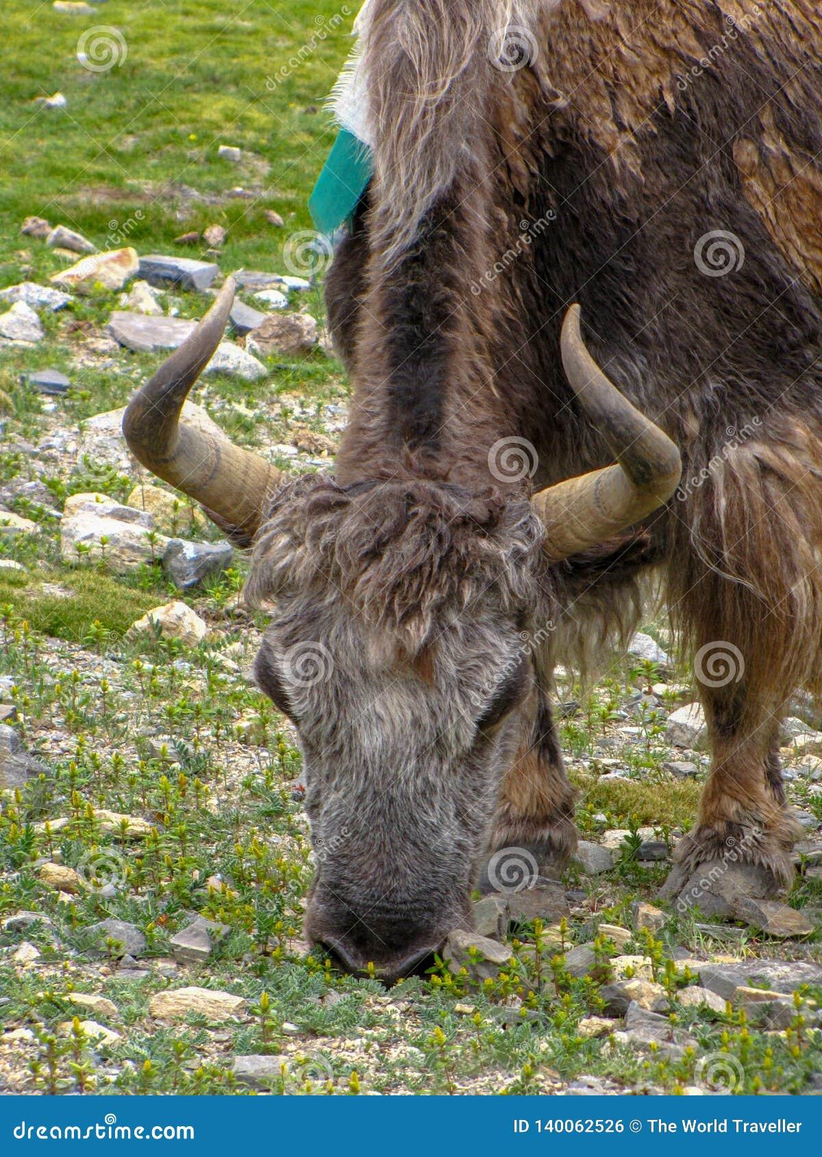 Закройте вверх яка, Rongbuk, Тибета, Китая