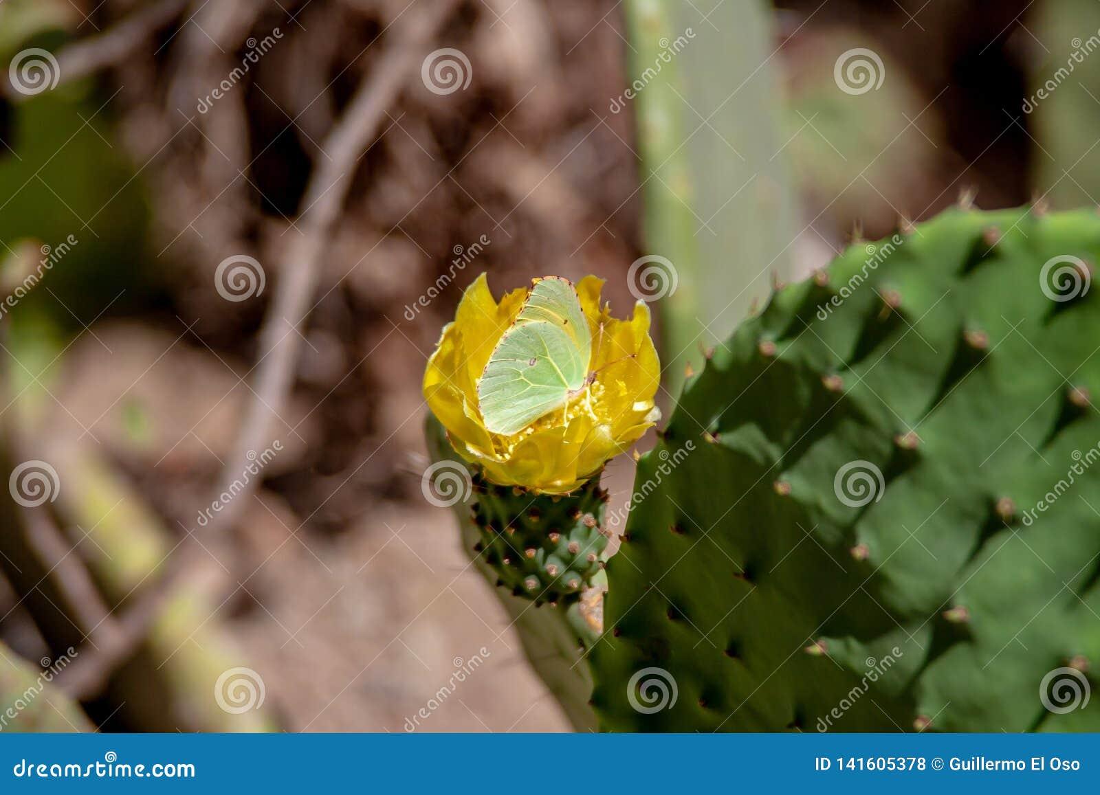 Закройте вверх от цветения кактуса с бабочкой