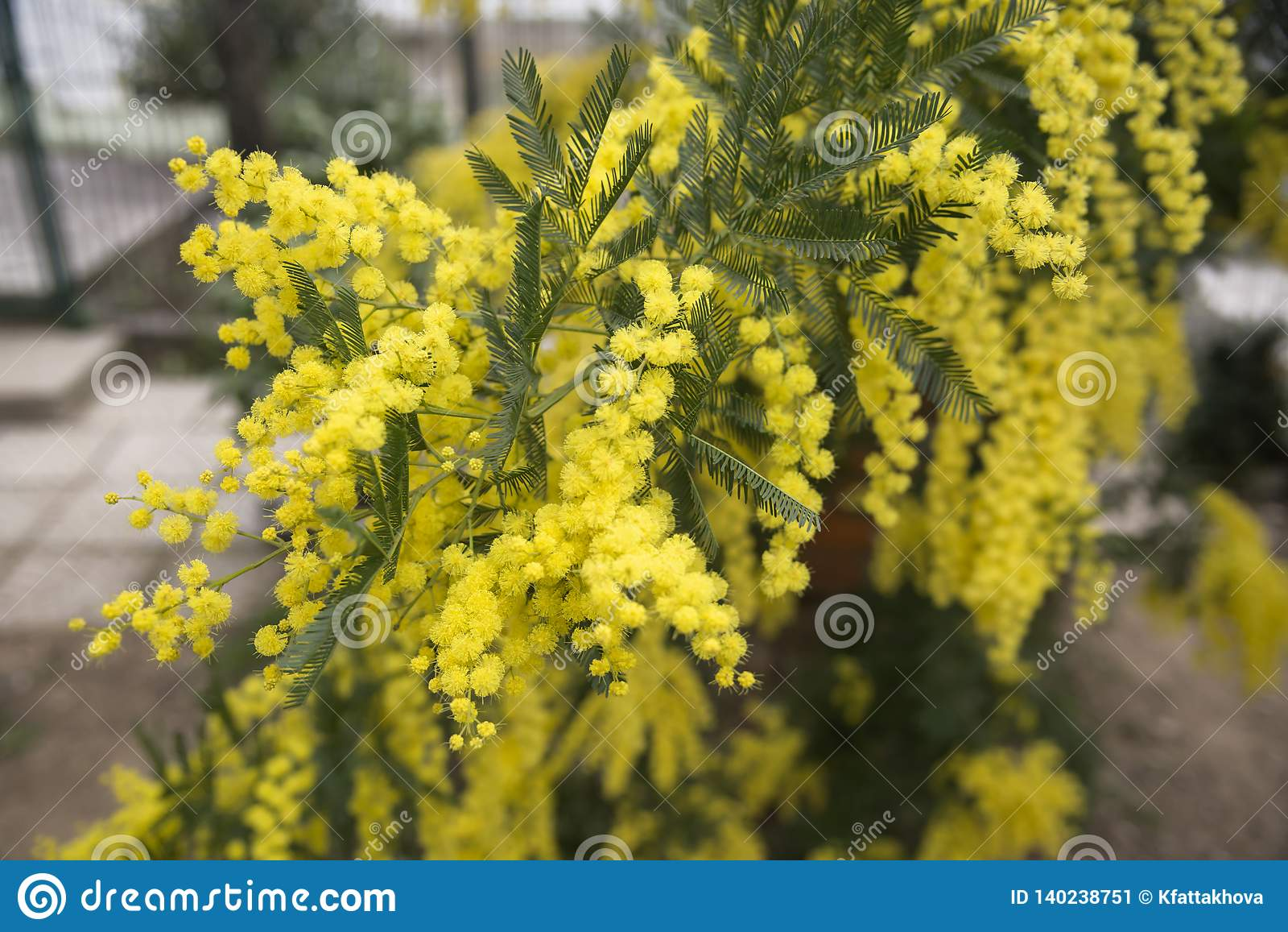 Зацветая мимоза в саде весной Сад, садовничая Цветение праздника весны