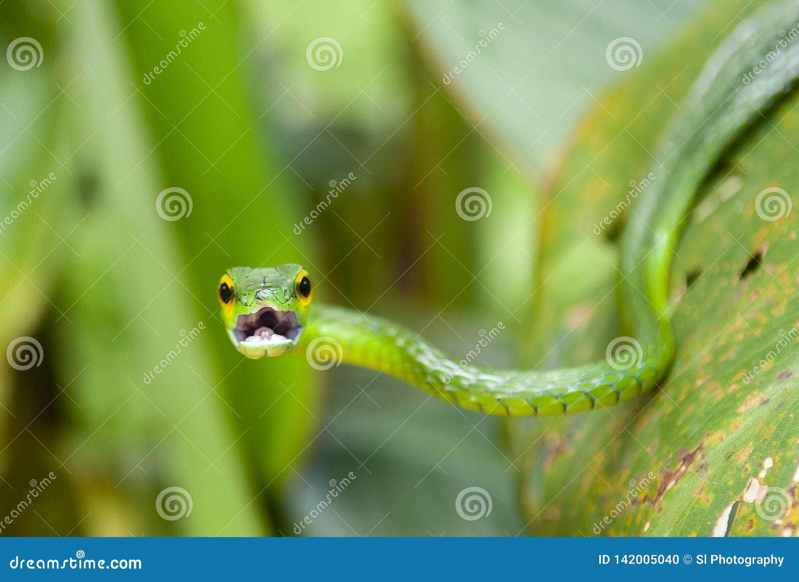 Зеленая змейка лозы, Коста-Рика