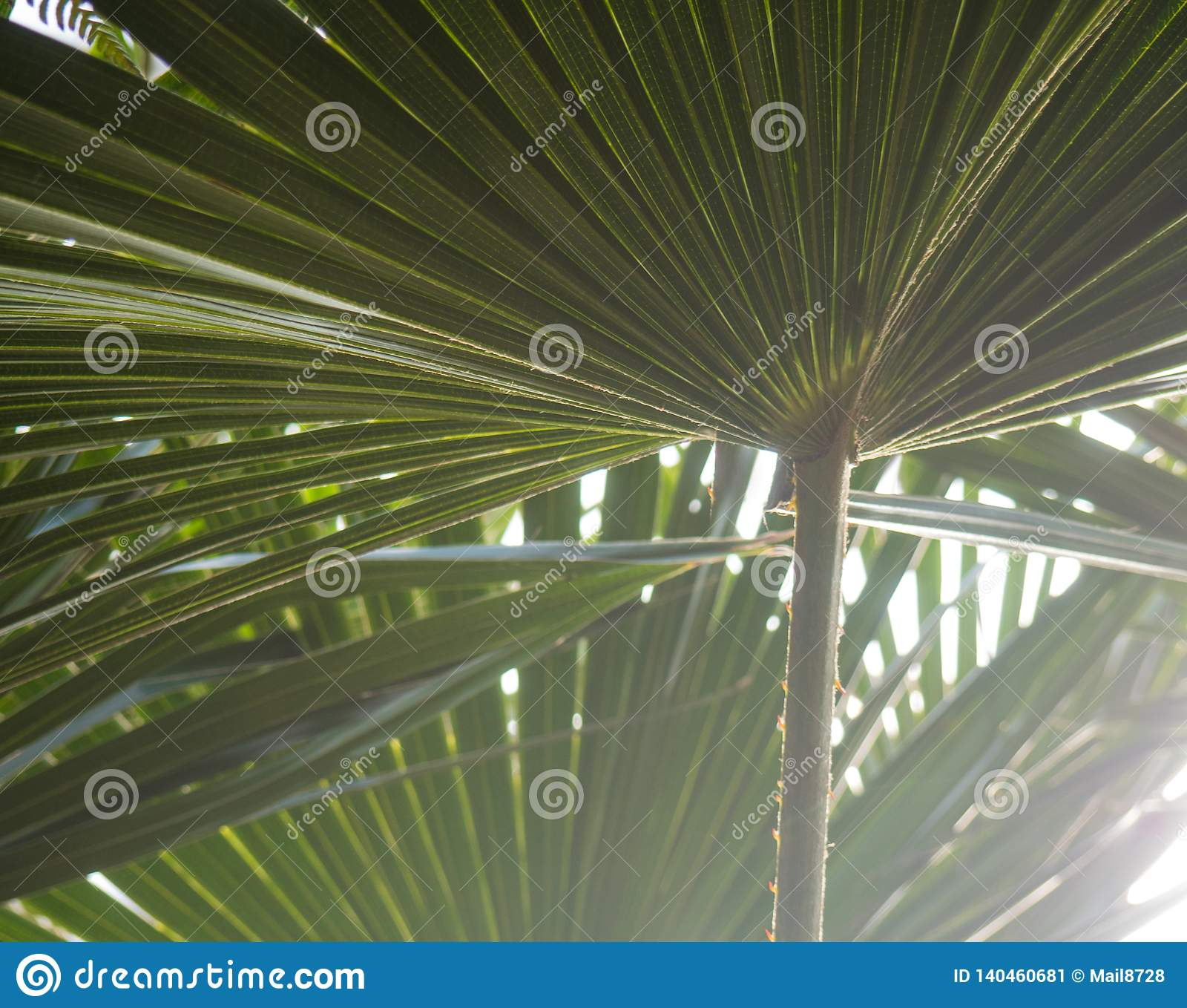 Зеленые листья пальмы с освещают светить контржурным светом через текстуру