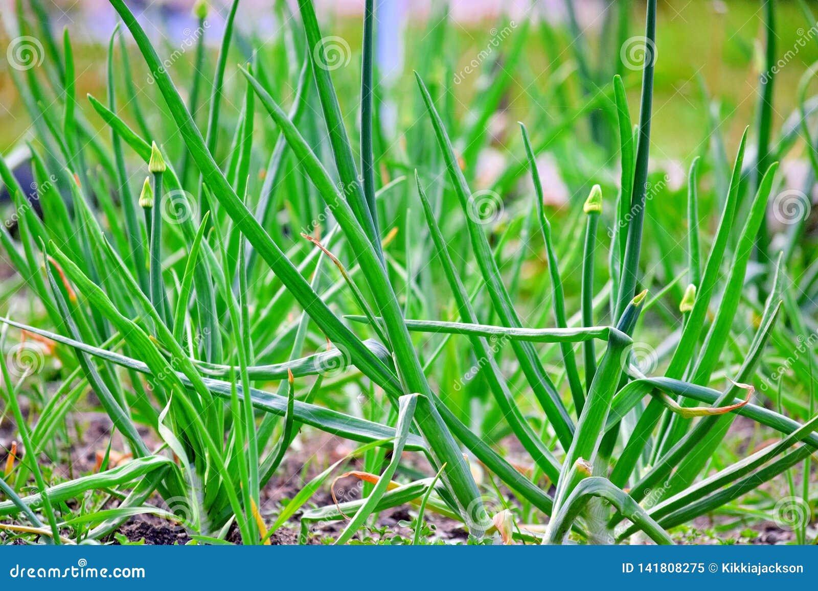 Зеленые луки скачут домашнее засаживая садовничая био фото запаса овощей