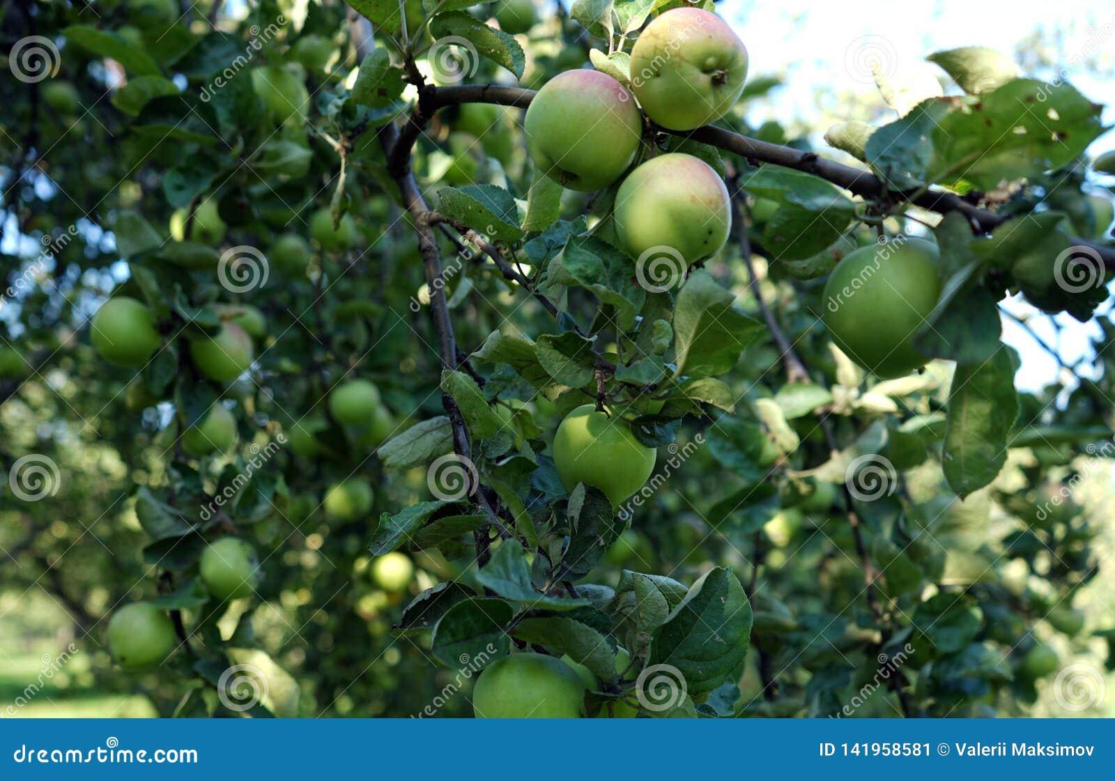 Зеленые яблоки растя на ветви дерева в яблоневом саде