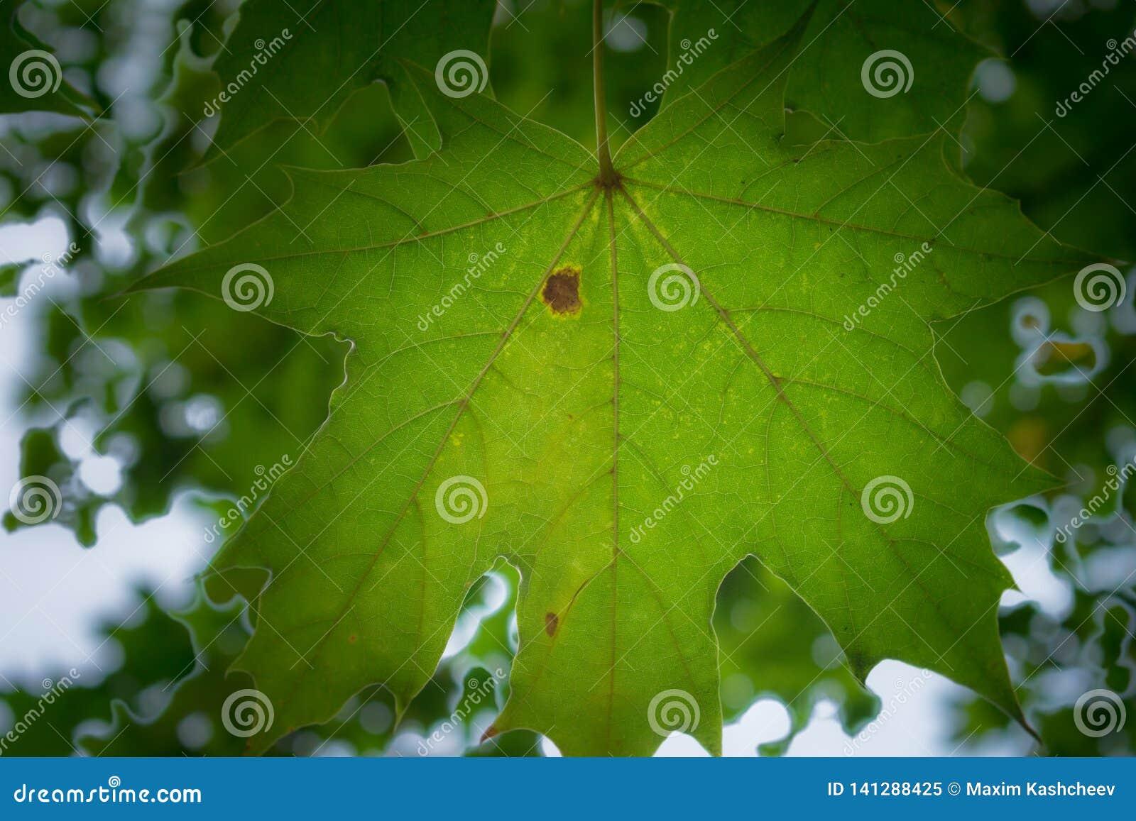 зеленый клен листьев
