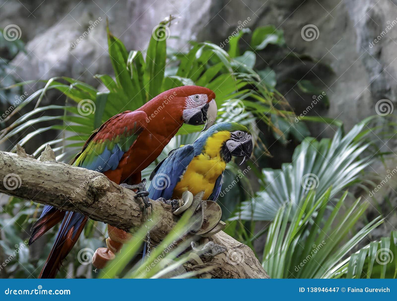Зелен-подогнали ара ары, сини и золота сидя на ветви