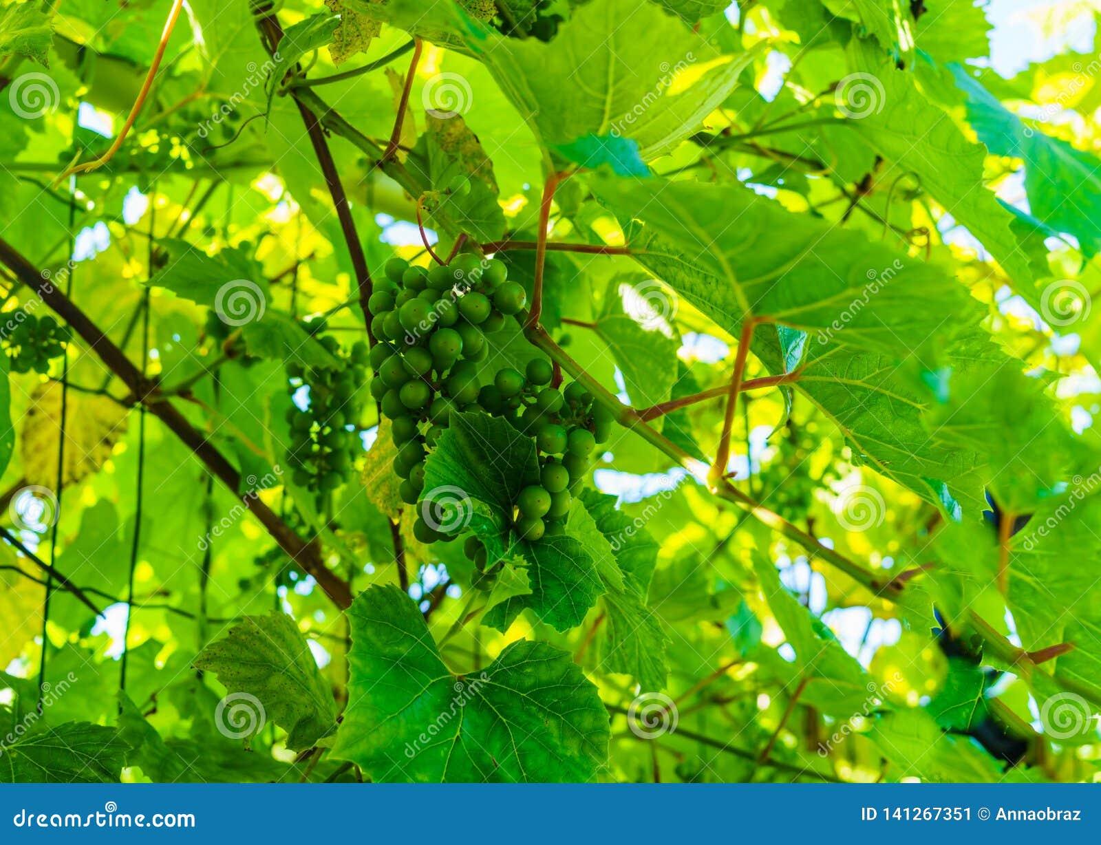 Зрея зеленые виноградины вися на ветвях виноградин