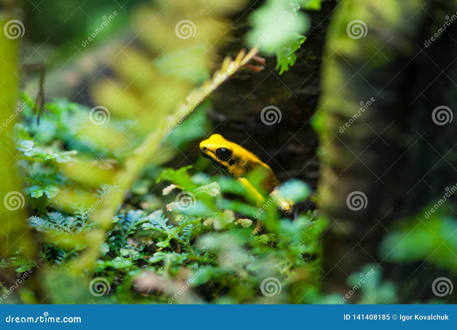 Золотая лягушка стрелки отравы