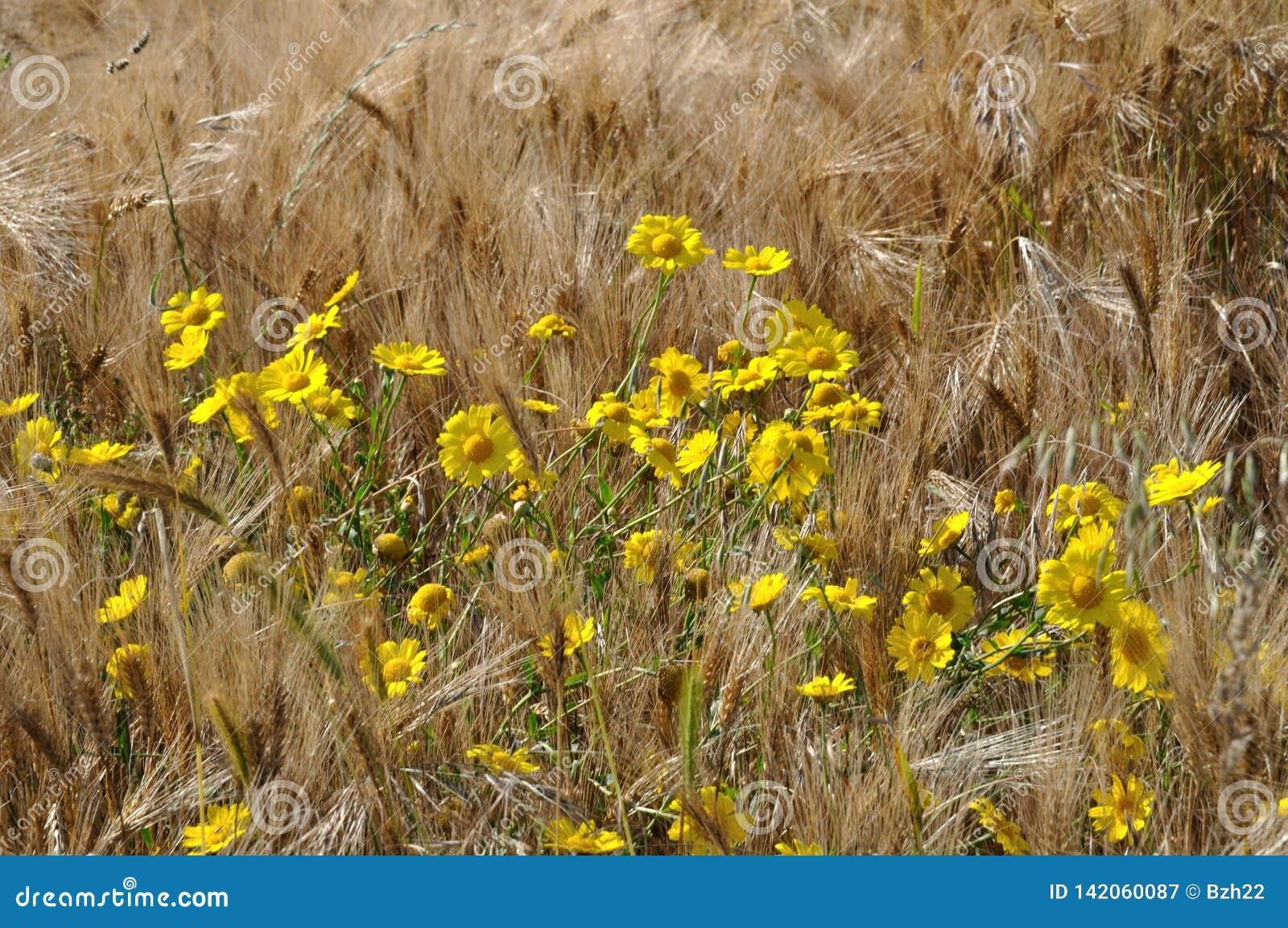 Золотая маргаритка в поле
