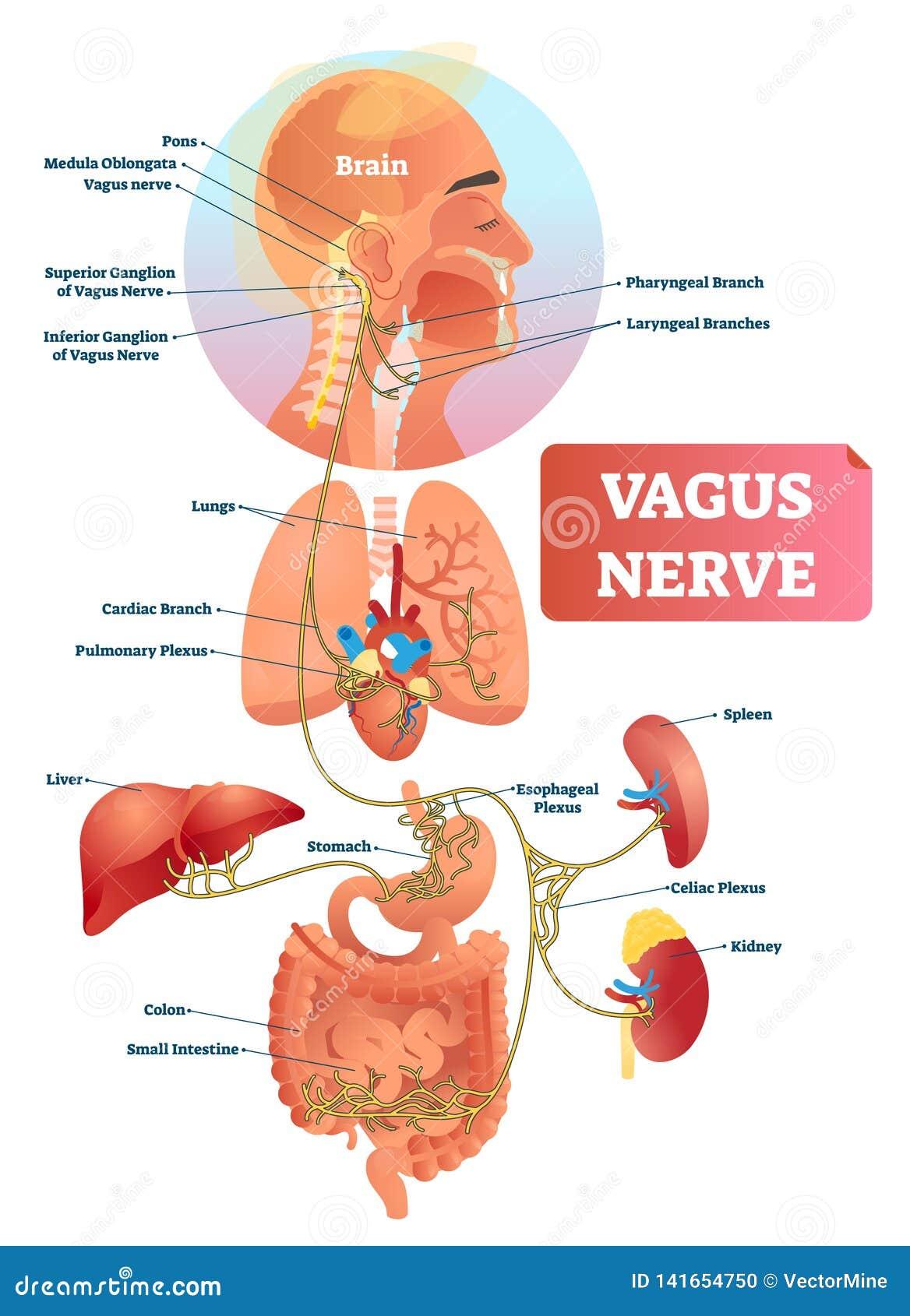 Иллюстрация вектора нерва вагуса Обозначенные анатомическая структура и положение