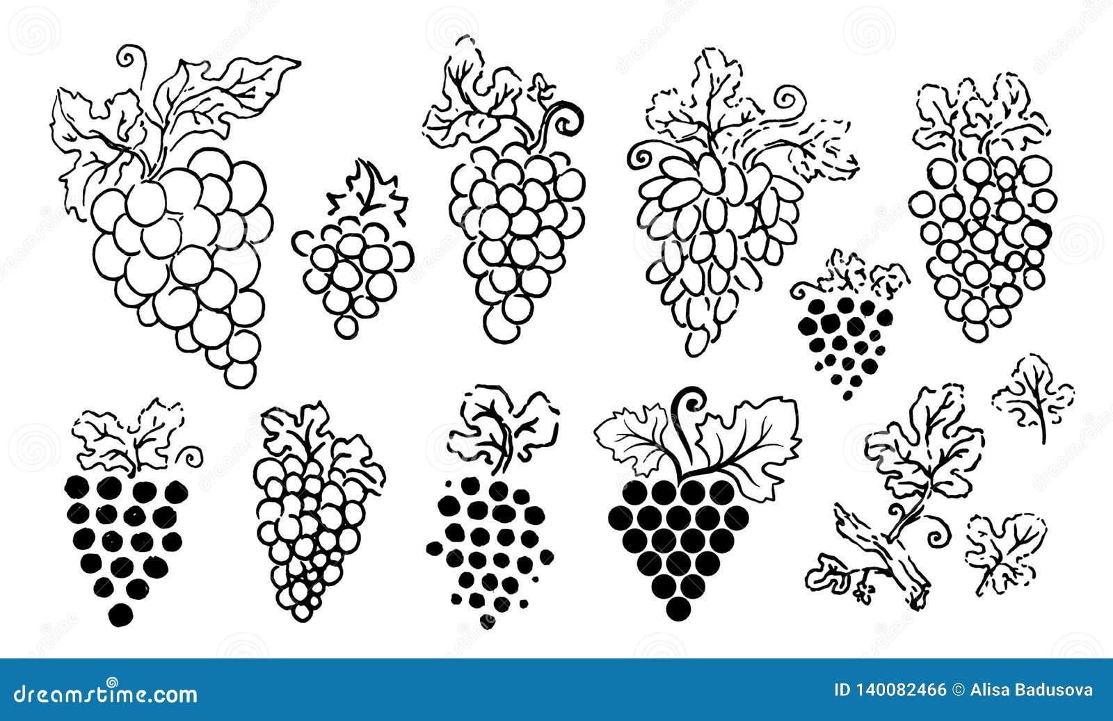 Иллюстрация руки вектора вычерченная силуэта виноградин на белой предпосылке