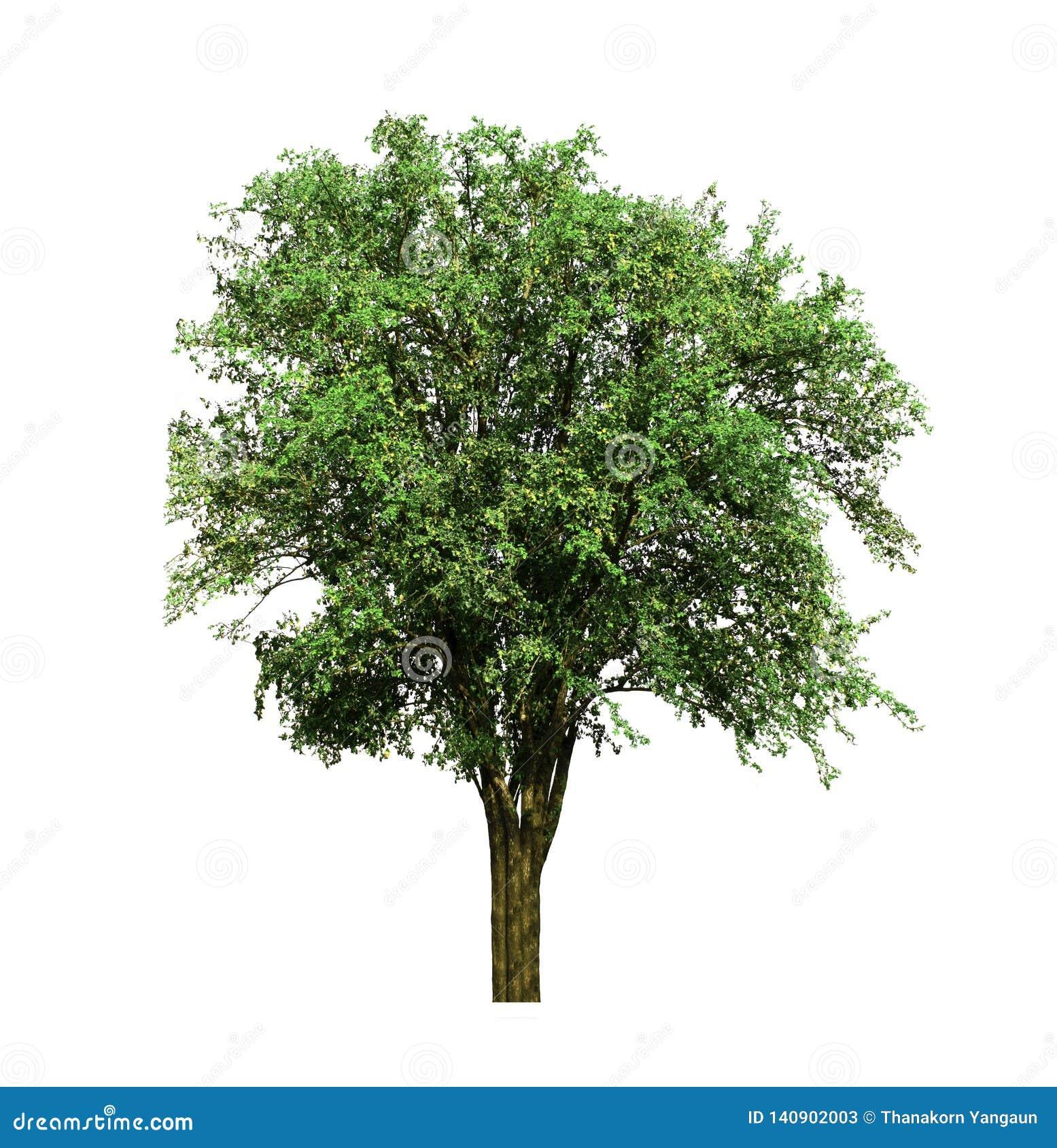 Индийское дерево jujube, расти тропического плода вверх в органических полях риса изолированных на белой предпосылке