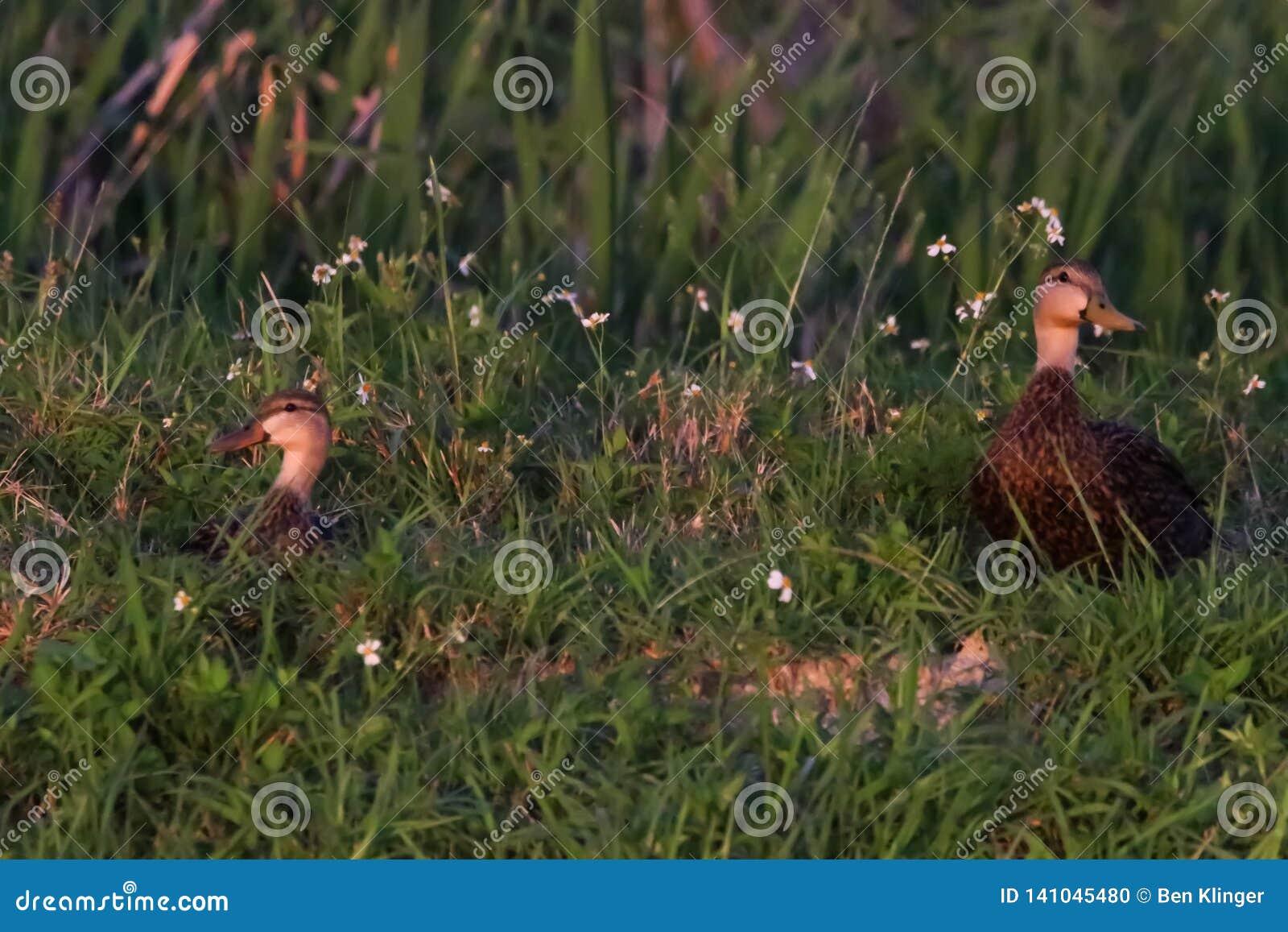 Испещрятьые утки на озера окаймляются