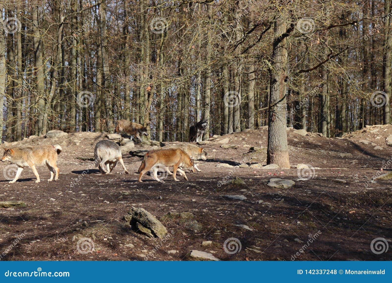 Канадский волк в wildpark в Канаде