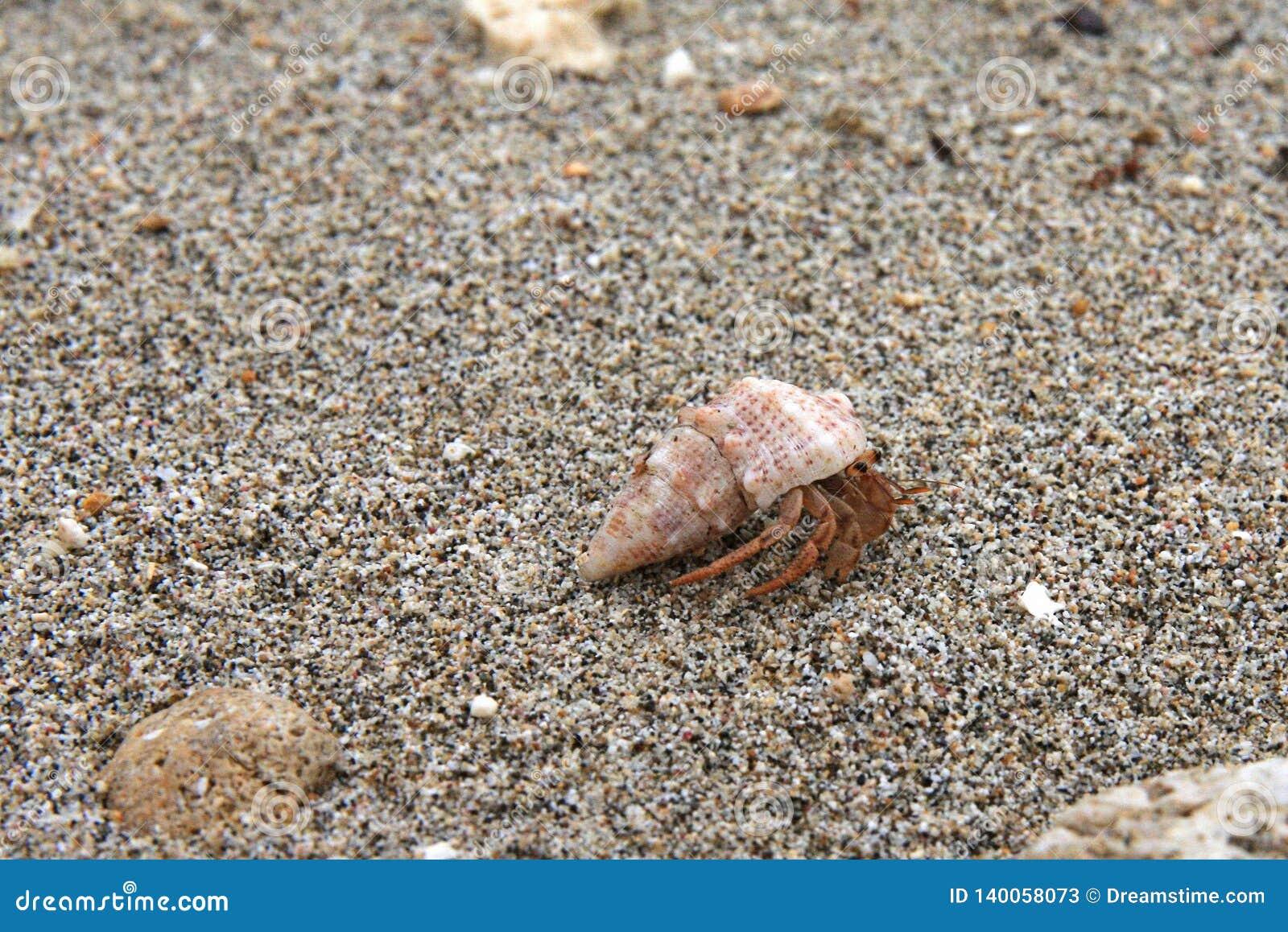 Краб затворницы двигая вперед на песчаный пляж