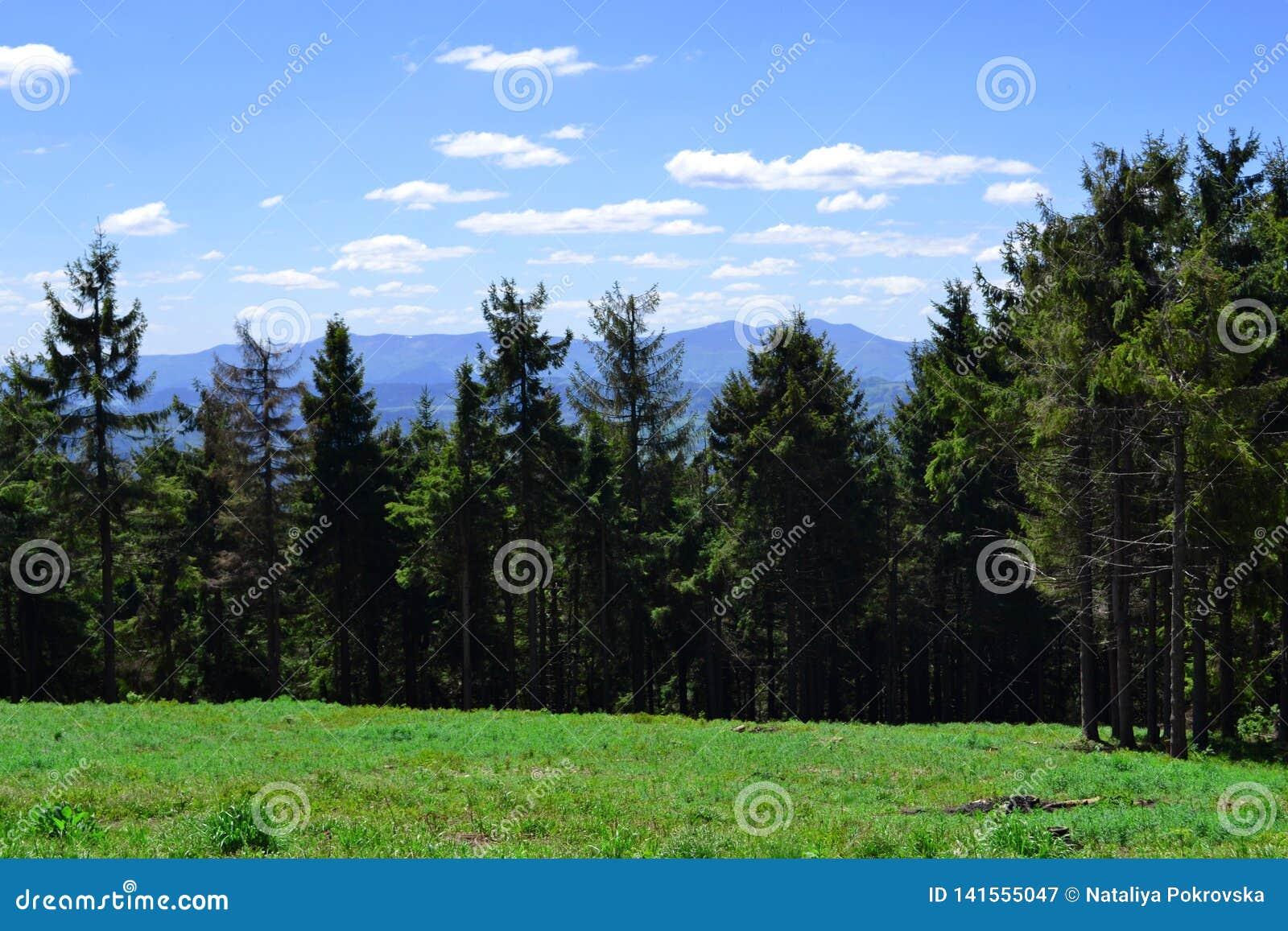 Красивый ландшафт леса лета в прикарпатских горах Окончательный стоп после взбираться Время обеда на траве в солнечном