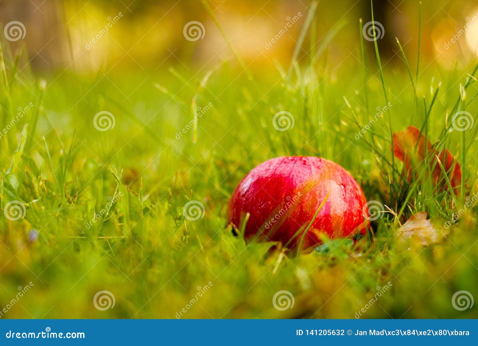 Красная красота, самое сладкое яблоко дерева