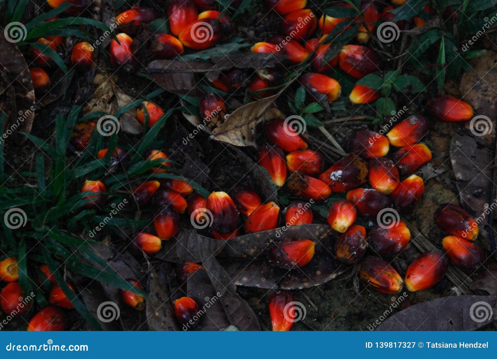 Красный плод от которого пальмовое масло