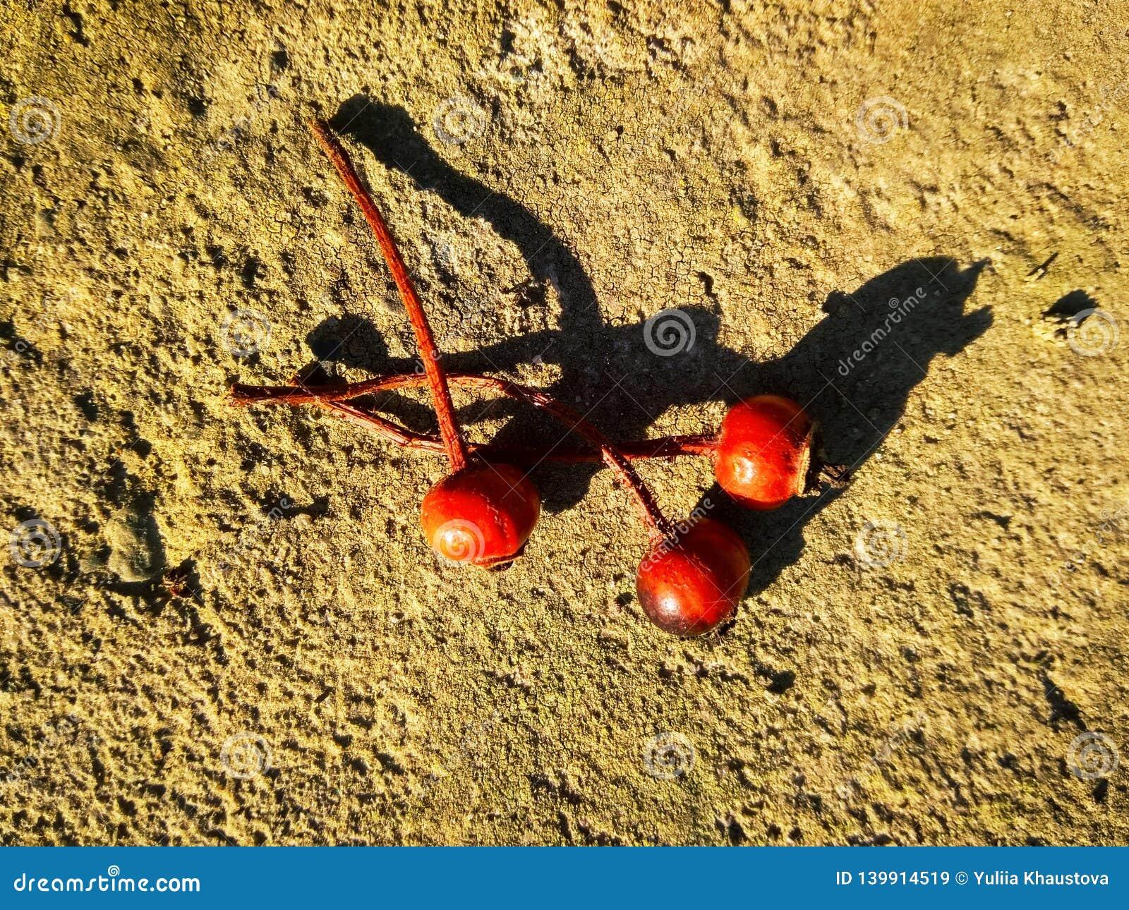 3 красных сухих плода шиповника на бетоне