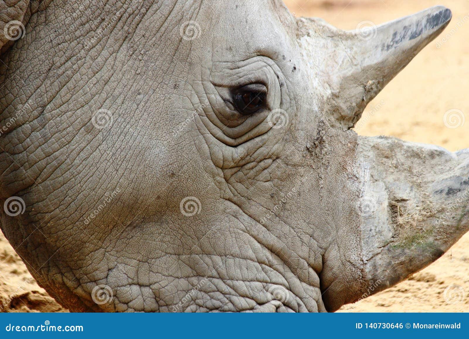 Конец носорога главный вверх в зоопарке в Германии в Аугсбурге