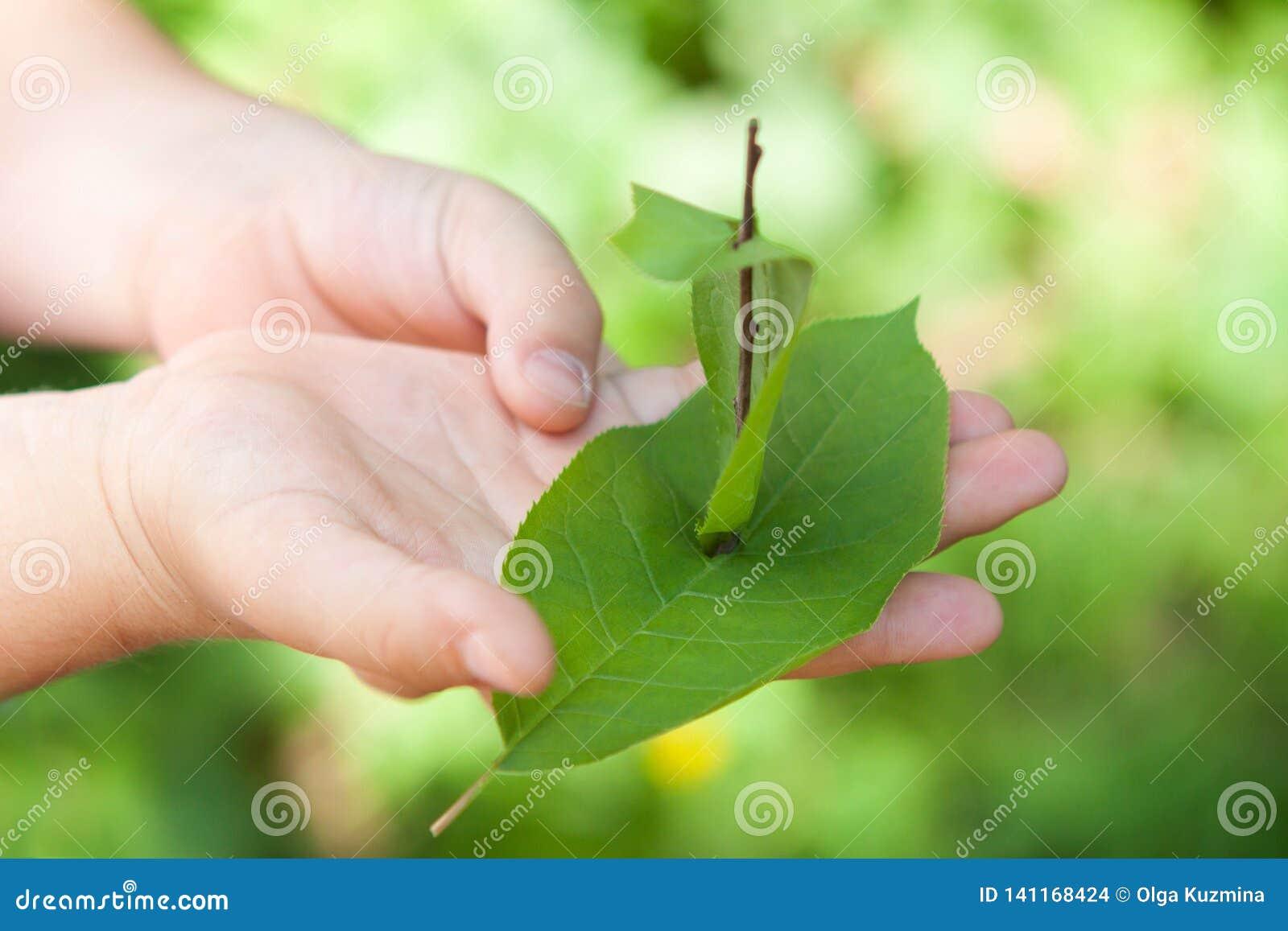 Корабль листьев в руках маленького ребенка лето дня солнечное
