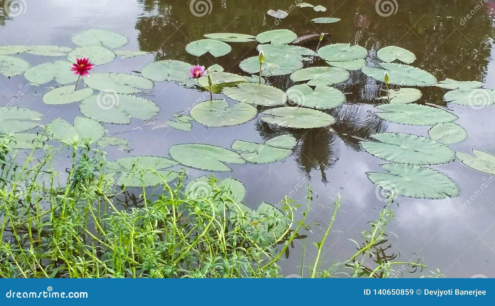 Лилии воды на пруде в цветении