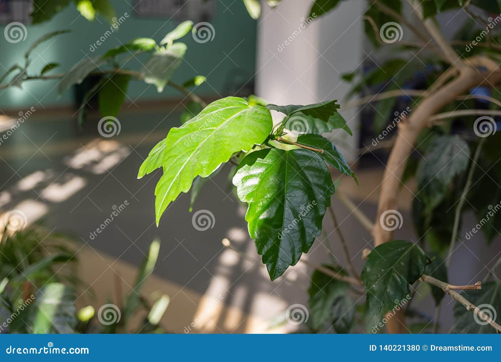 Листья зеленого цвета комнатного растения