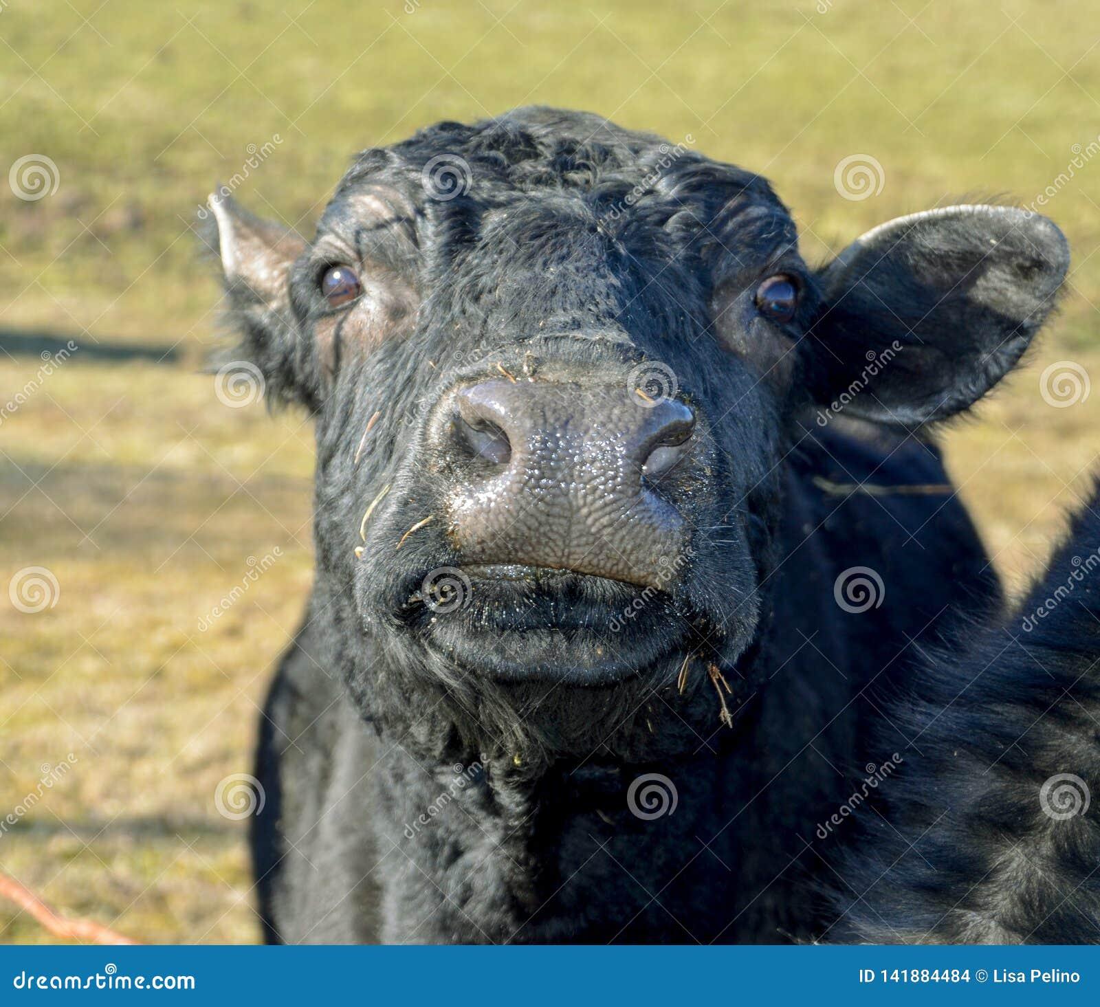 Любопытная черная корова дает смешной, любопытный взгляд