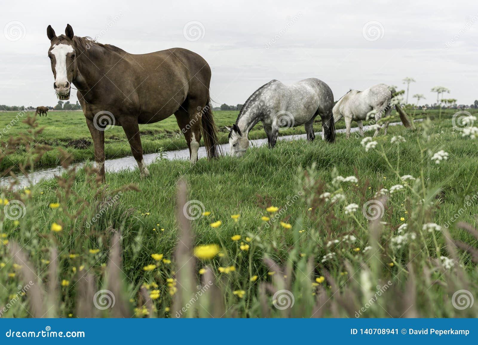 Лошади в выгоне Амстердаме Noord, Nederland