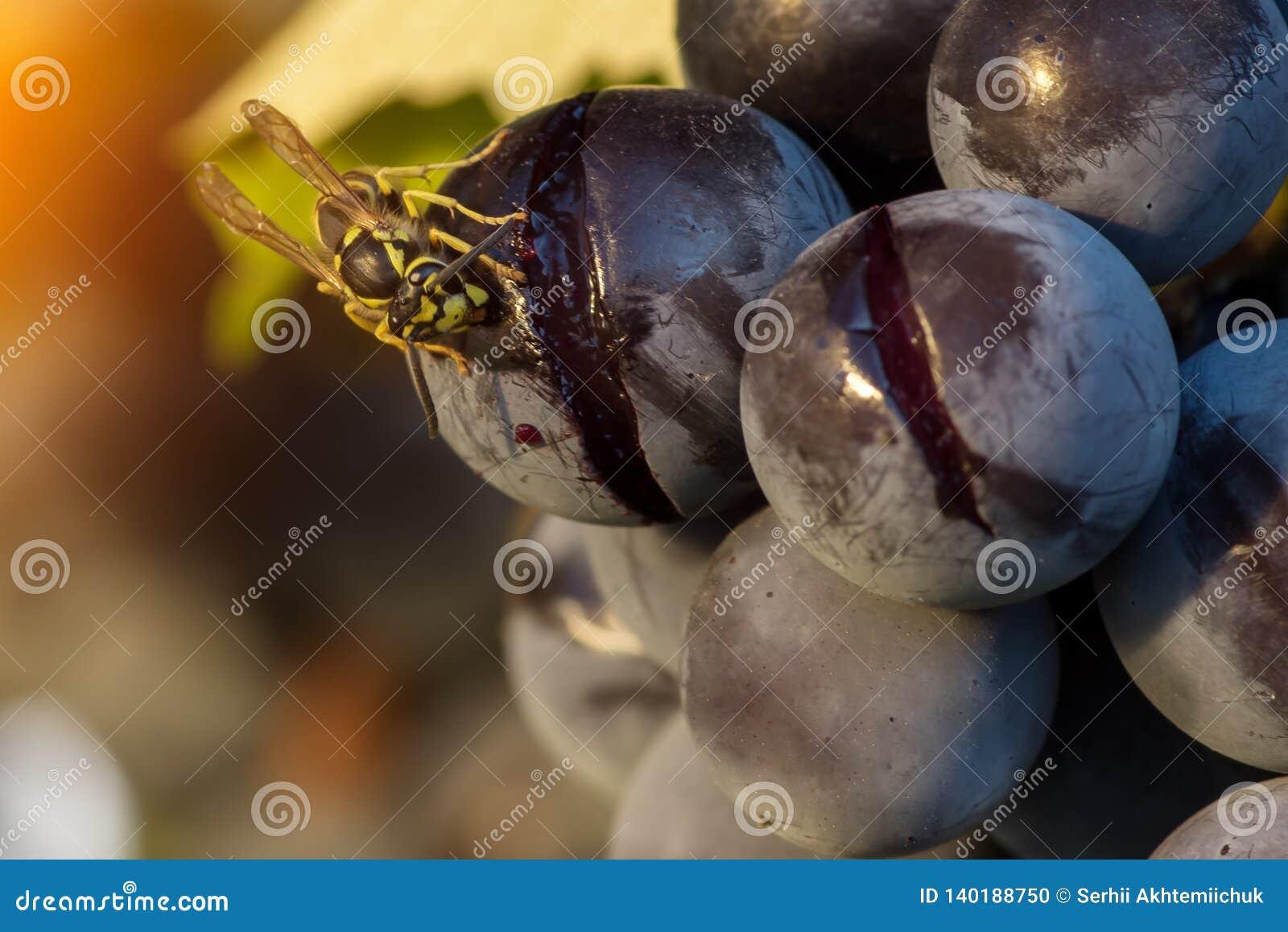 Макрос оси есть плод виноградины