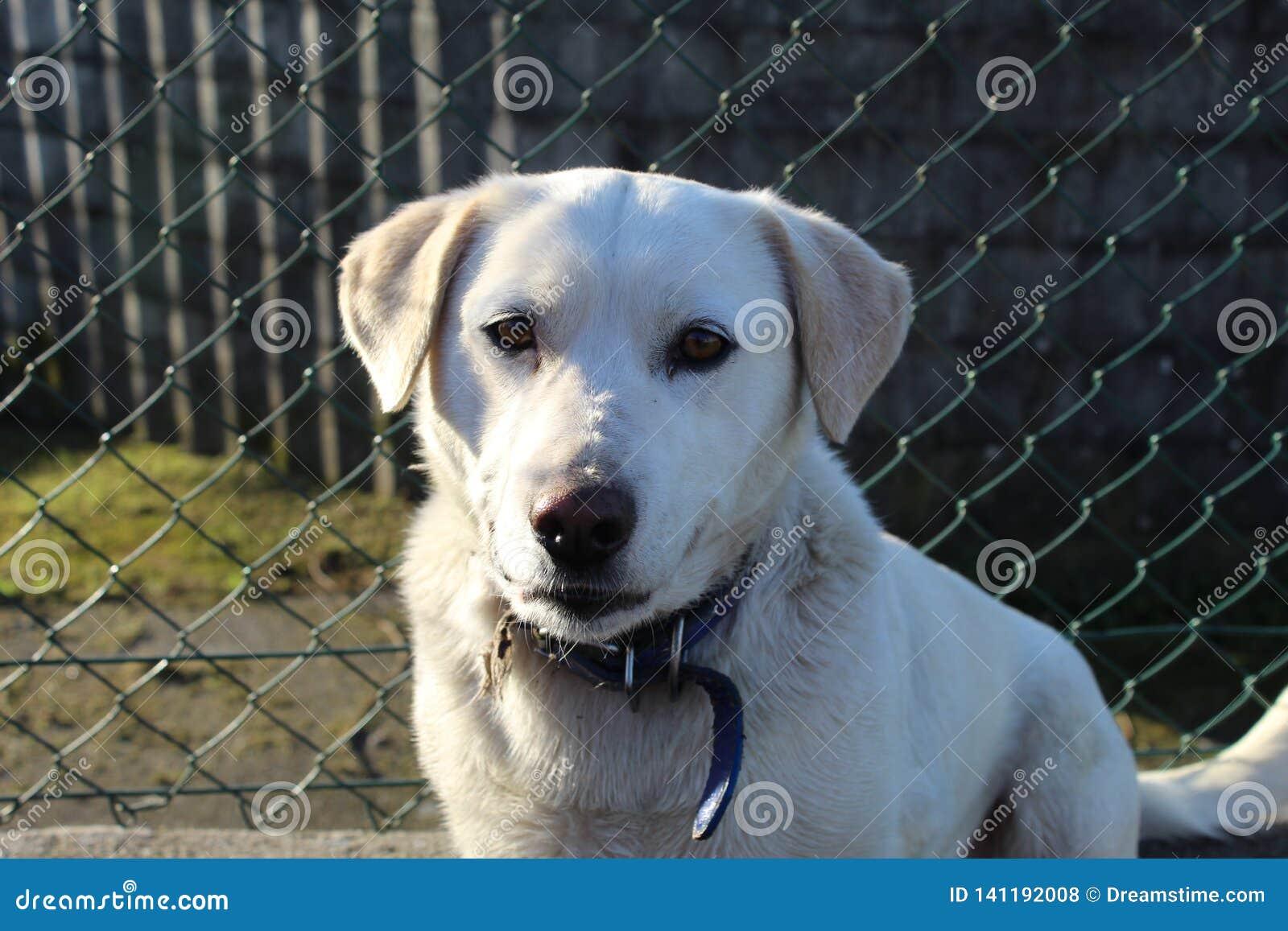Милая белая улыбка собаки labrador