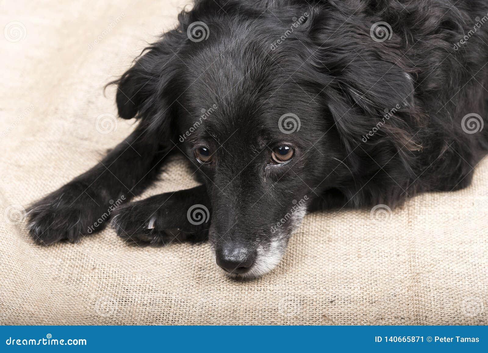 Милая черная собака лежит на поле