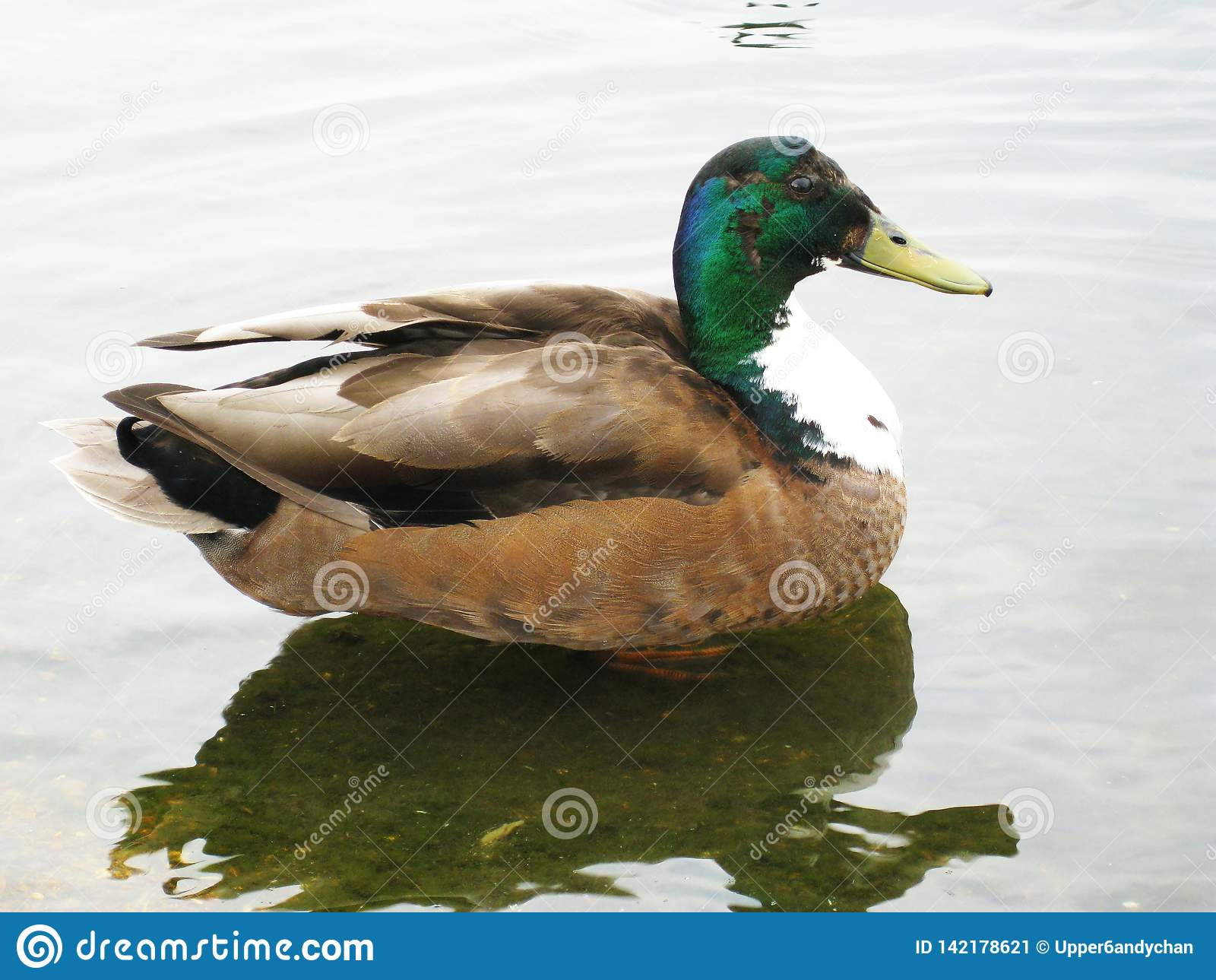Мужская утка кряквы спокойно плавая вокруг в пруде в Гайд-парке пока наслаждающся великобританской солнечностью лета