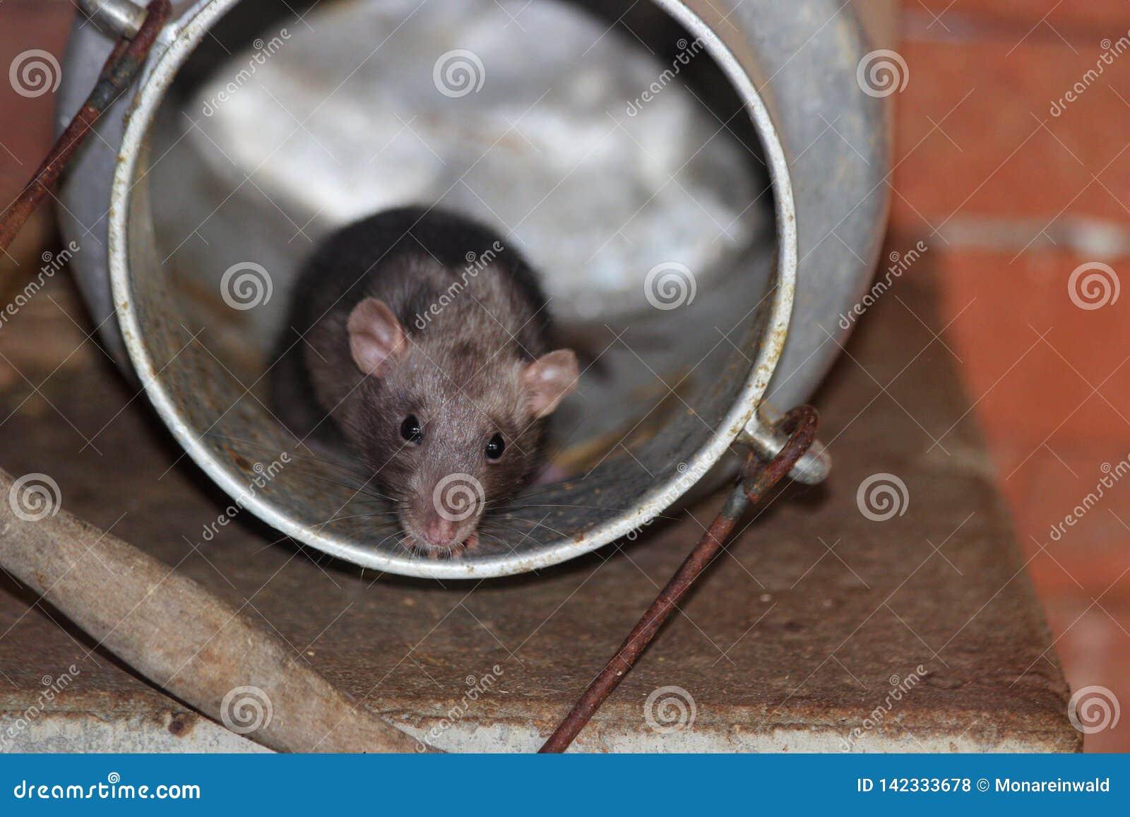 Мышь в консервной банке молока в плохом mergentheiim