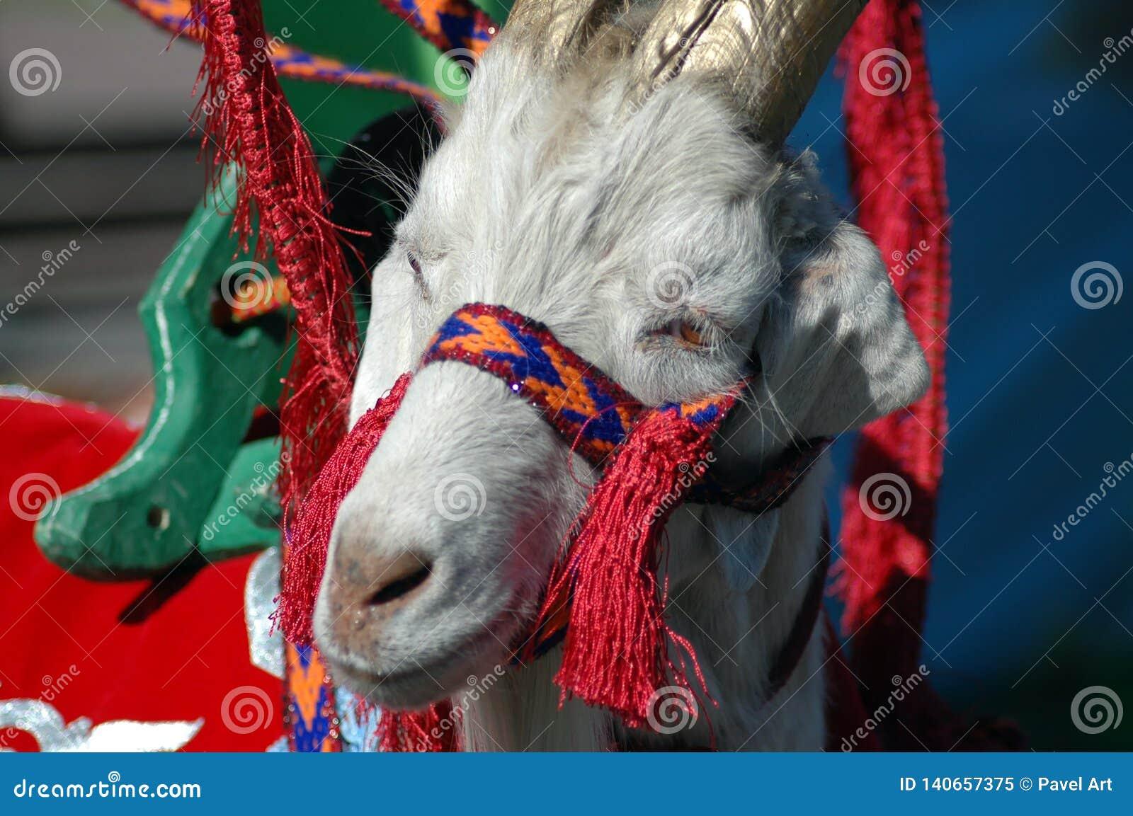 Молодая коза, в национальных одеждах