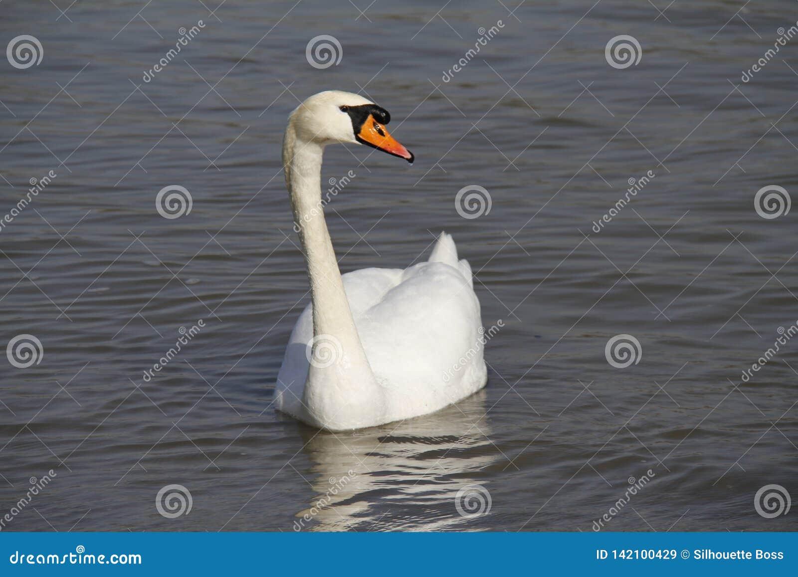 Молодой лебедь плавает спокойно на воде