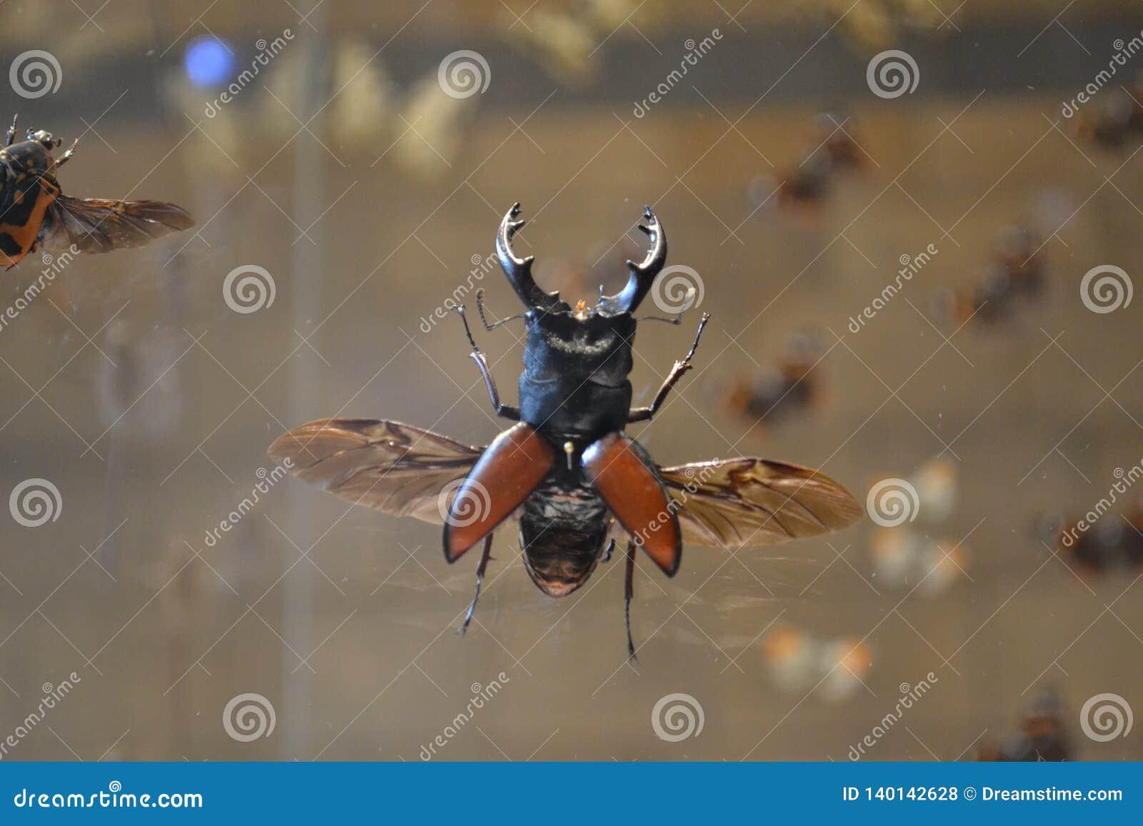 Насекомое жука рогача большое в музее