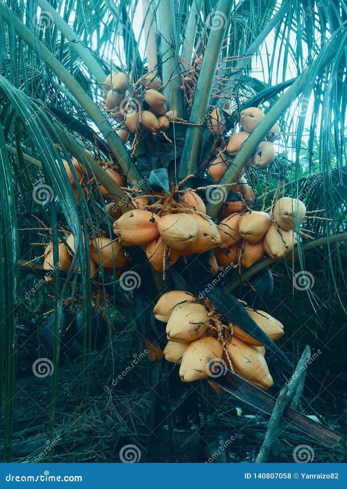 Пальма кокоса с желтыми плодами