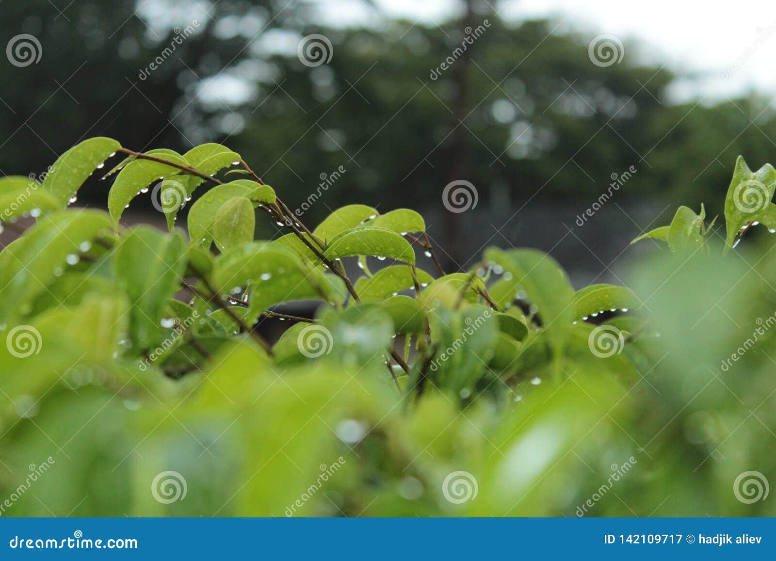 Падения дождя на зеленых листьях с запачканной предпосылкой